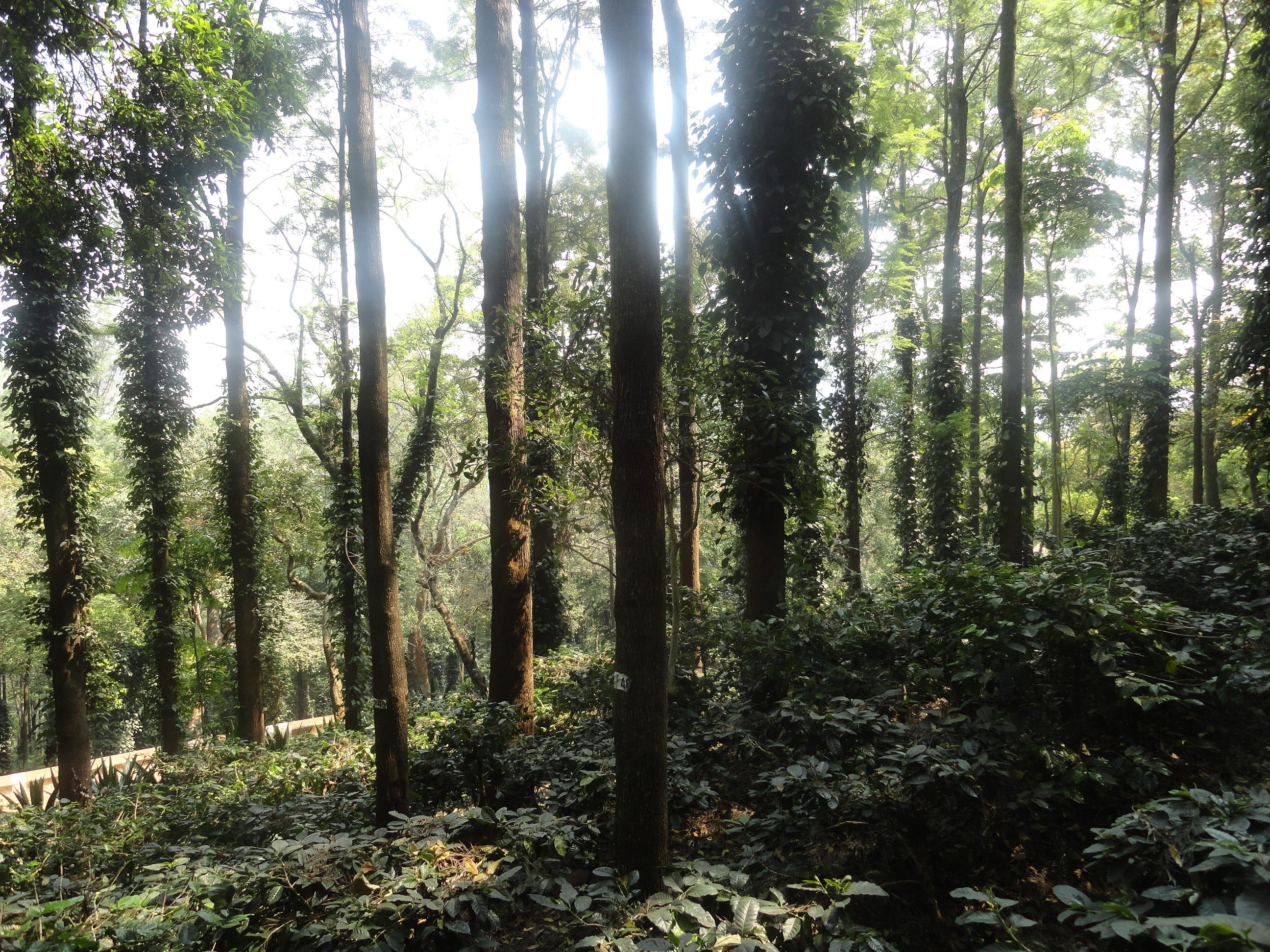 India-Andhra-Pradesh-Araku-Valley-coffee