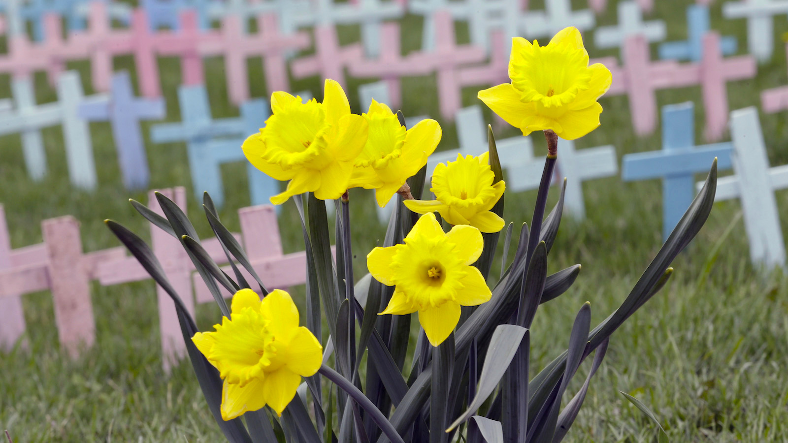 """Daffodils bloom in front of """"The Cemetery of the Innocents"""" where 4000 crosses represent daily abortions in America according to a sign posted at the First Bible Baptist Church under a light rain during the warm spring weather in Lancaster, N.Y., Wednesday, April 24, 2013. (AP Photo/David Duprey)"""