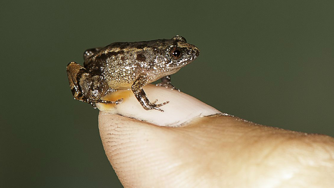 India-Frogs-western Ghat