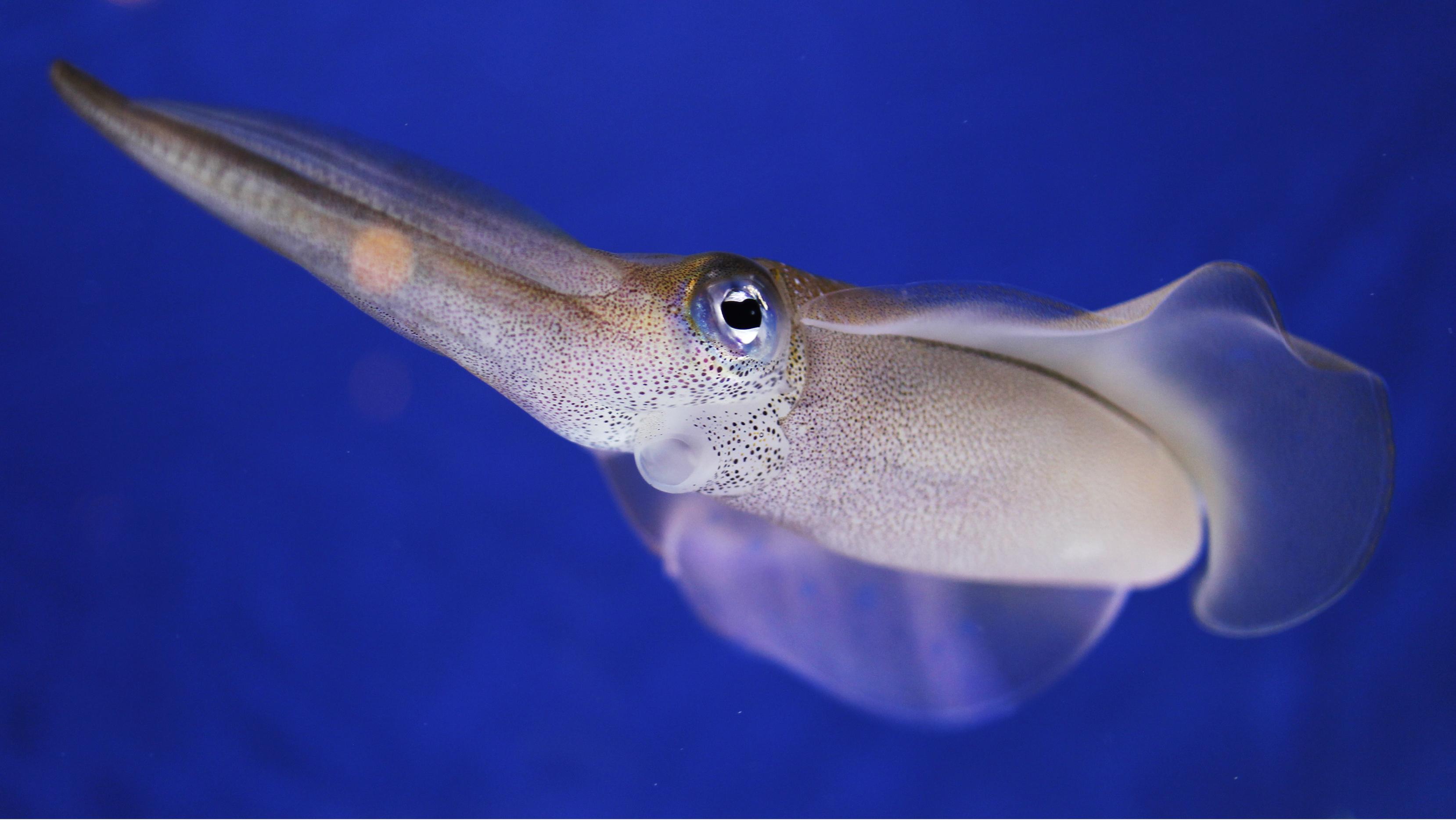 Squid skin