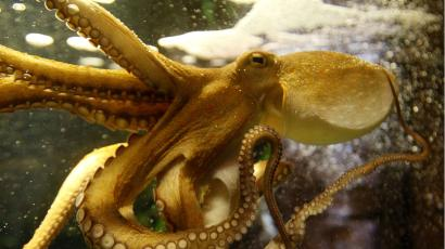 A yellow octopus in an aquarium tank