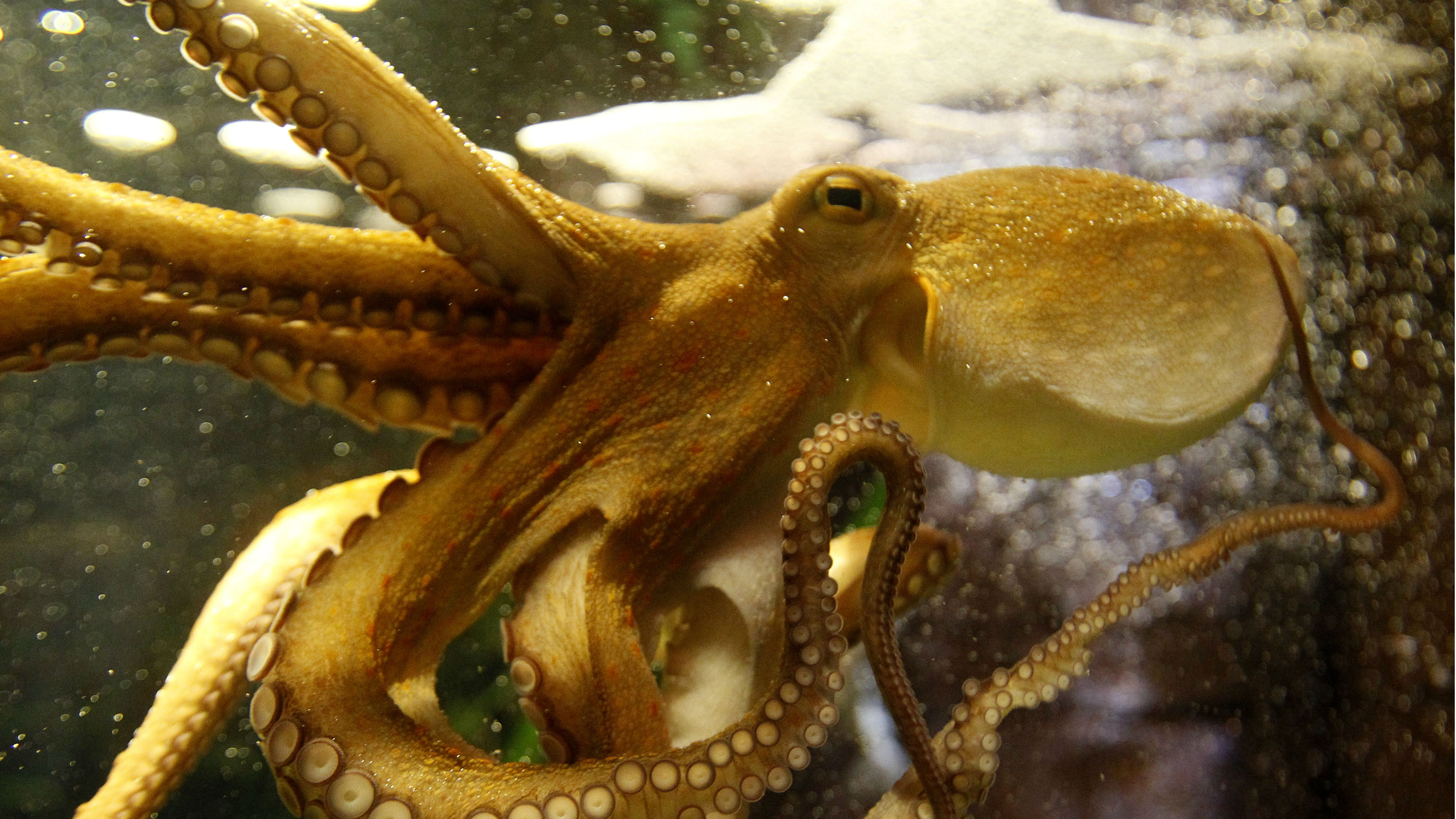"Octopus Ophira, a so-called ""octopus oracle"", is pictured as it predicts Germany's victory in the Women's World Cup soccer match against France, at the Sea Life Aquarium in Berlin July 5, 2011. Ophira chose a fish from a glass tube with the German flag instead of a glass tube with the France flag to predict the winner. Germany will play France in the Group A soccer match later this evening."
