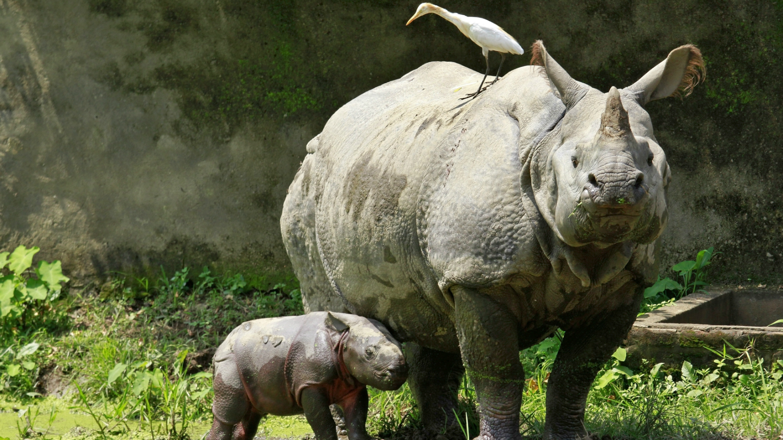 A one-horned rhino named Baghekhaity stands next to its 10-day-old calf at a zoo in Guwahati, in the northeastern Indian state of Assam, September 10, 2013. The calf was born on September 1 under the conservation breeding programme for one-horned rhinos in the state, local media reported.
