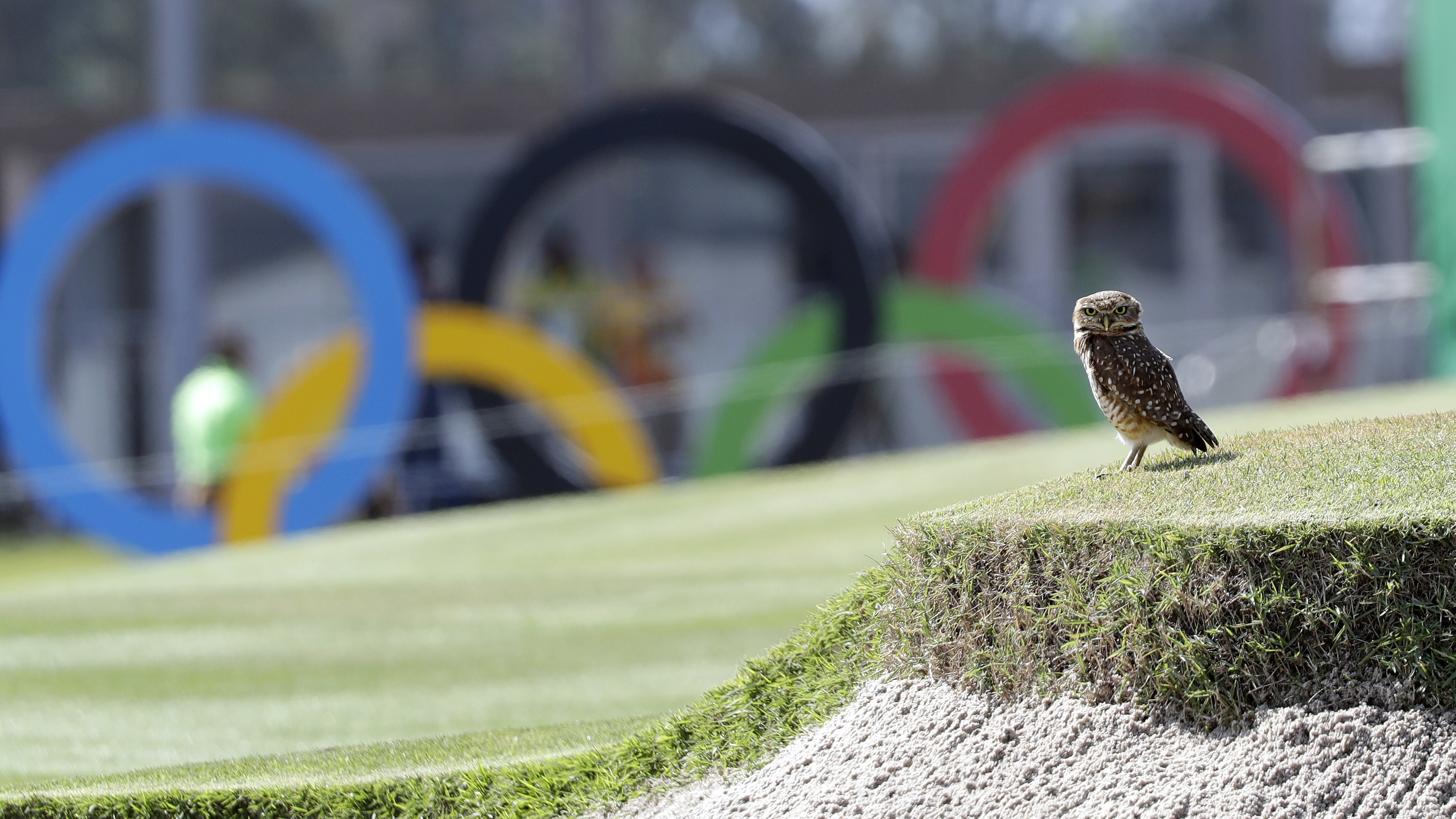 A burrowing owl rests on the ninth hole of the Olympic golf course near is nest in a san bunker during a practice round for the 2016 Summer Olympics in Rio de Janeiro, Brazil, Friday, Aug. 5, 2016. (AP Photo/Eric Gay)