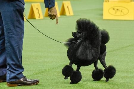 Westminster Dog Show Best in Show