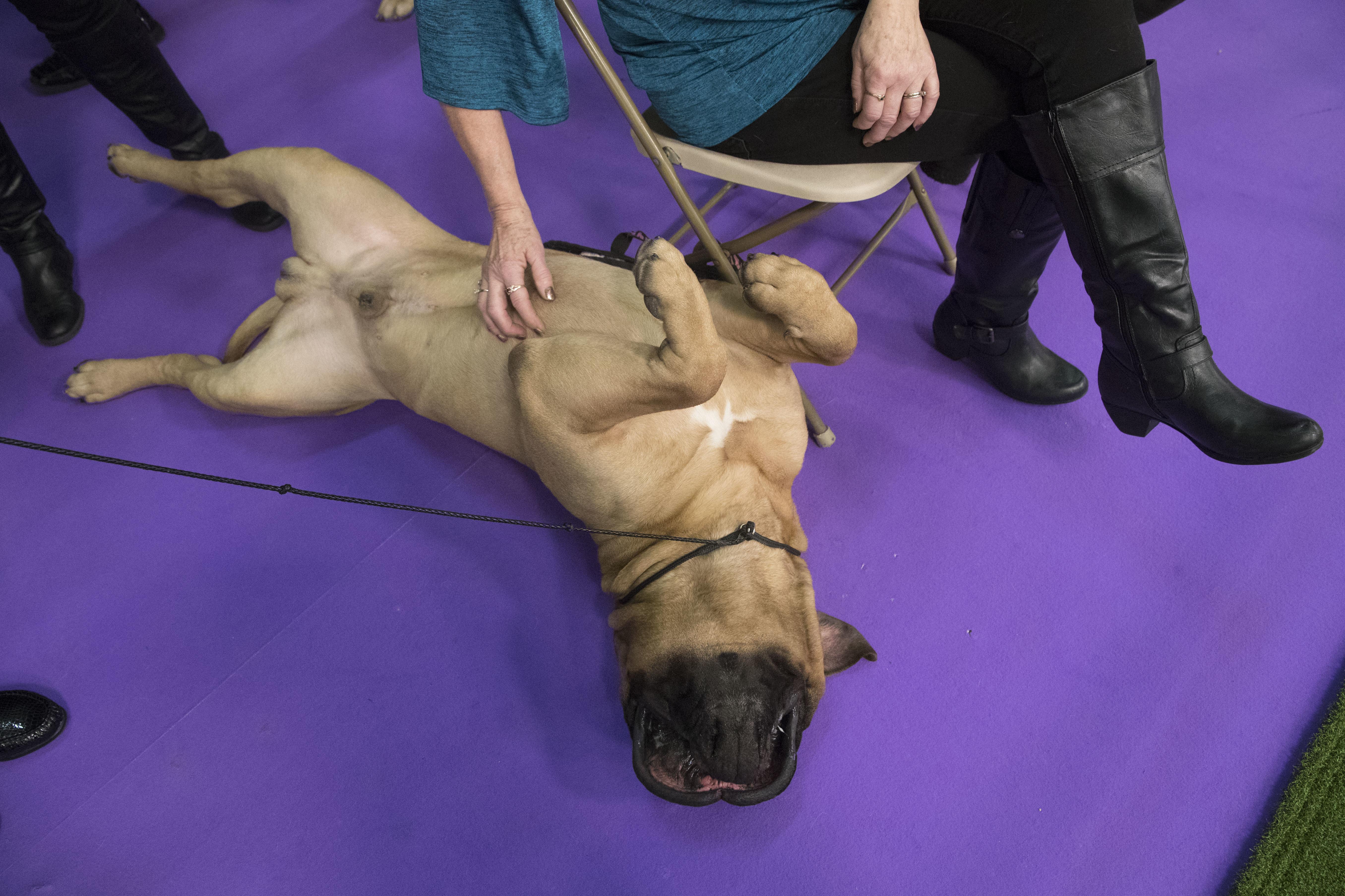 Bullmastiff Westminster Dog Show
