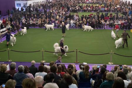Great Pyrenees Westminster Dog Show