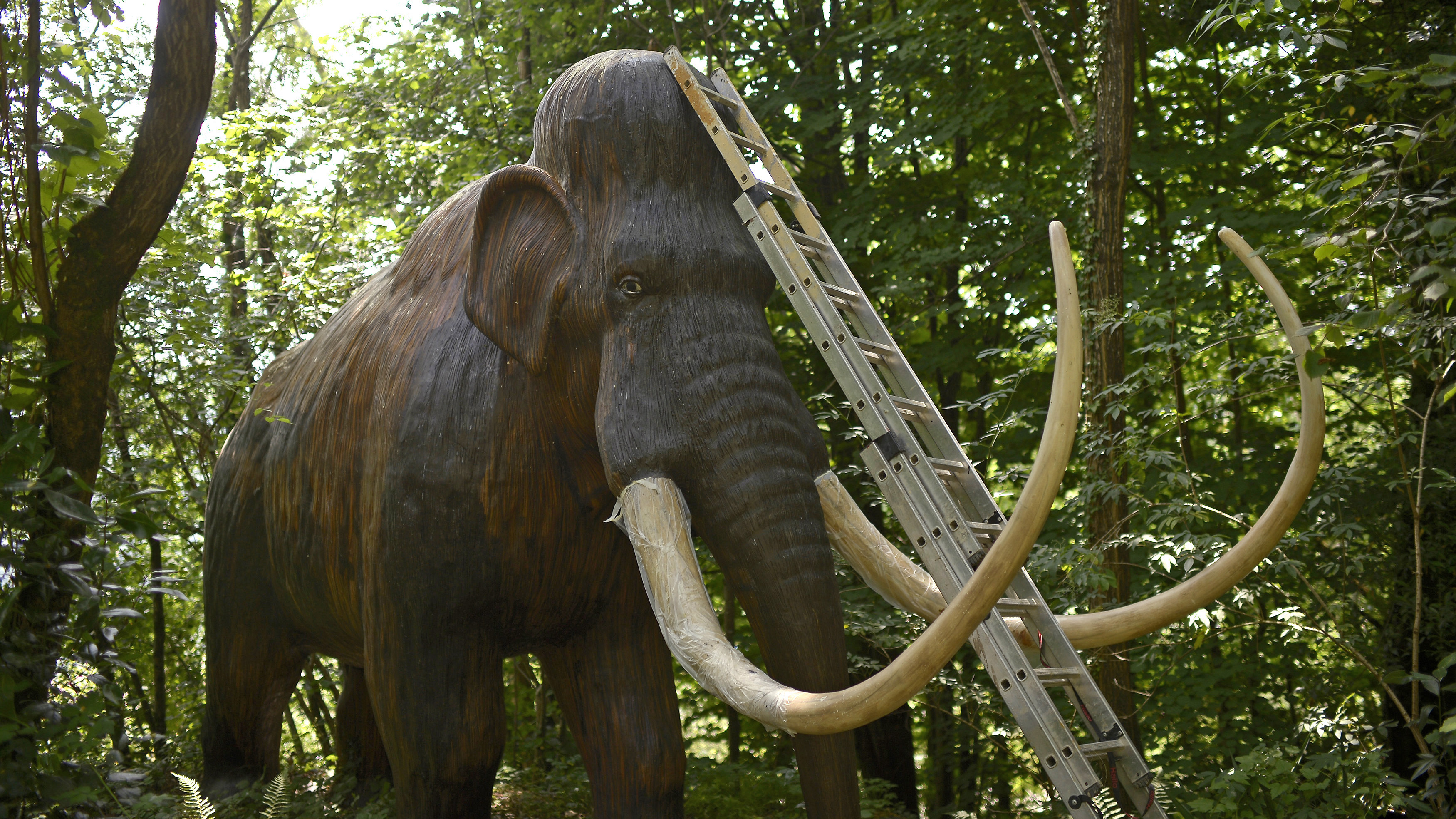 "A ladder leans against a life-size model of a Woolly Mammoth at the Karpin Abentura park in the Karrantza valley, outside Bilbao July 26, 2014. The park, housing wildlife and model dinosaur areas, reopened on Saturday following damage due to heavy rains. According to the information plaque, ""Much of what the world knows about Woolly Mammoths comes from Spanish and French cave drawings. The last mammoths died 10000 years ago, millions of years after the dinosaurs became extinct."" REUTERS/Vincent West (SPAIN - Tags: ANIMALS SOCIETY) - RTR40846"