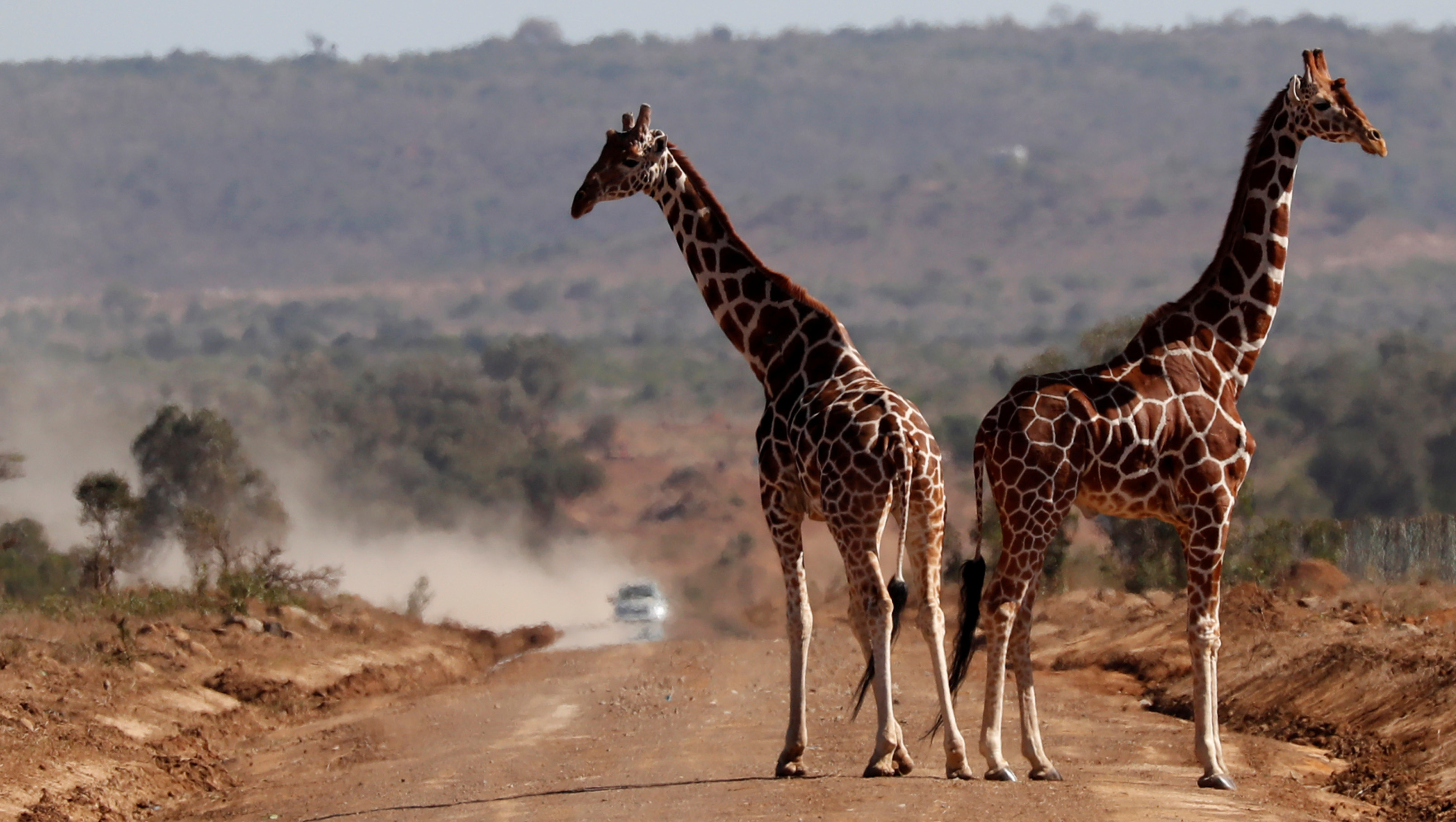 Giraffes stand on a road in Mugui Conservancy, Kenya,  February  12, 2017. REUTERS/Goran Tomasevic - RTSY8U1