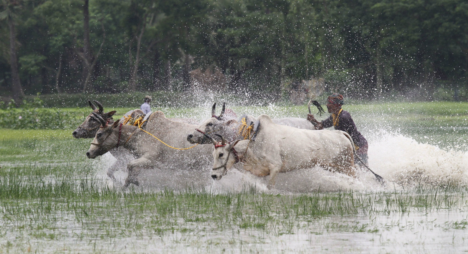 A farmer with his bulls takes part in the 21st Bull Race at a paddy field in Canning village, in the eastern Indian state of West Bengal July 29, 2012. Fifty-three farmers with 128 bulls from across the state, participated in the two-day long race on Sunday. Winners will be rewarded with daily items such as bicycles, brass pitchers, radio sets, etc. Farmers also participate with the belief that taking part in the race before ploughing their fields will bring good rain and prosperity to their families, and also to encourage young people to take up farming, organisers said.