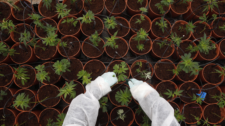 Professional cannabis cultivation, Israel.