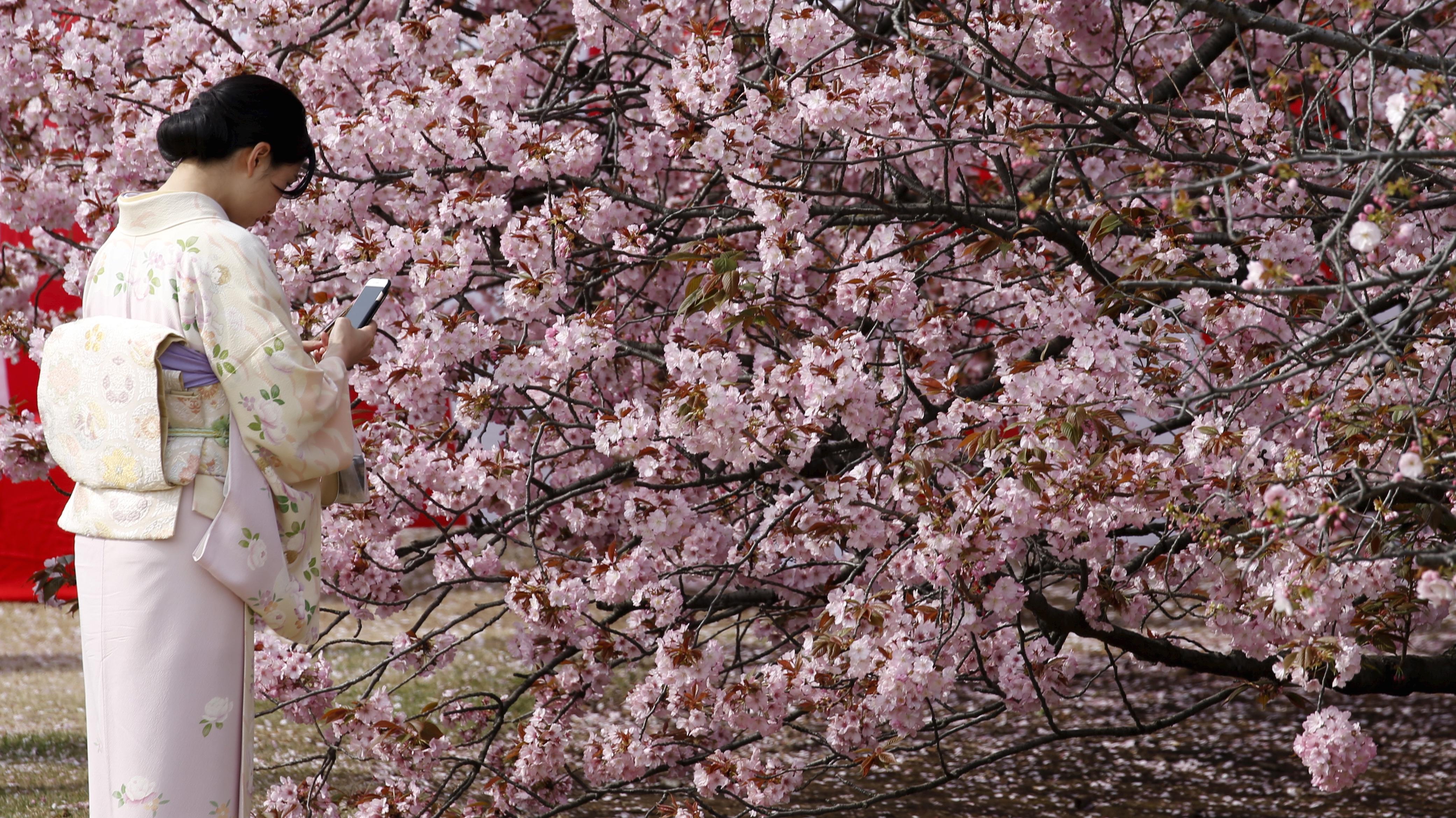 Kimono-clad woman takes photos of cherry blossoms in Tokyo.