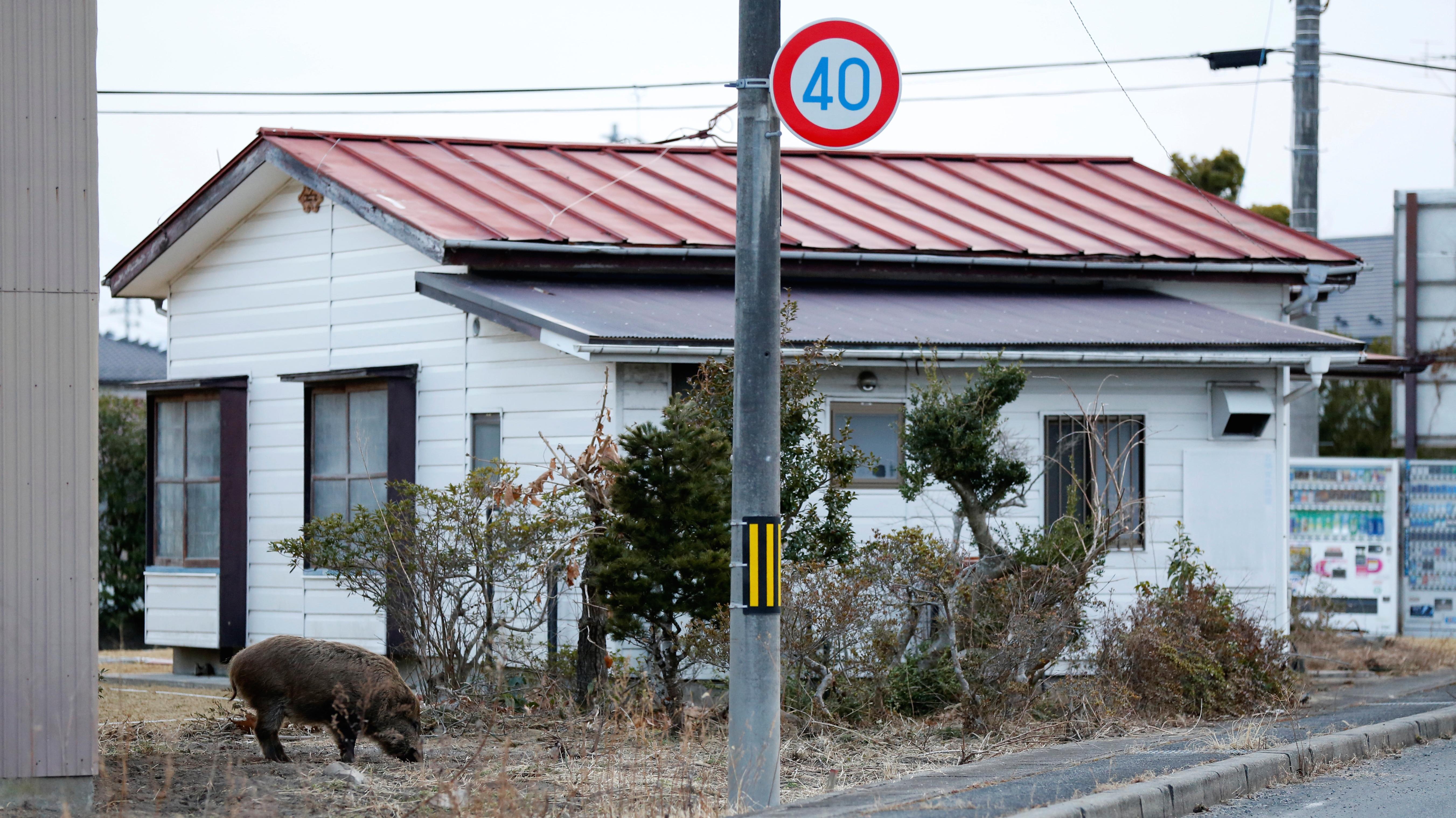 Wild boar in Namie, Japan.