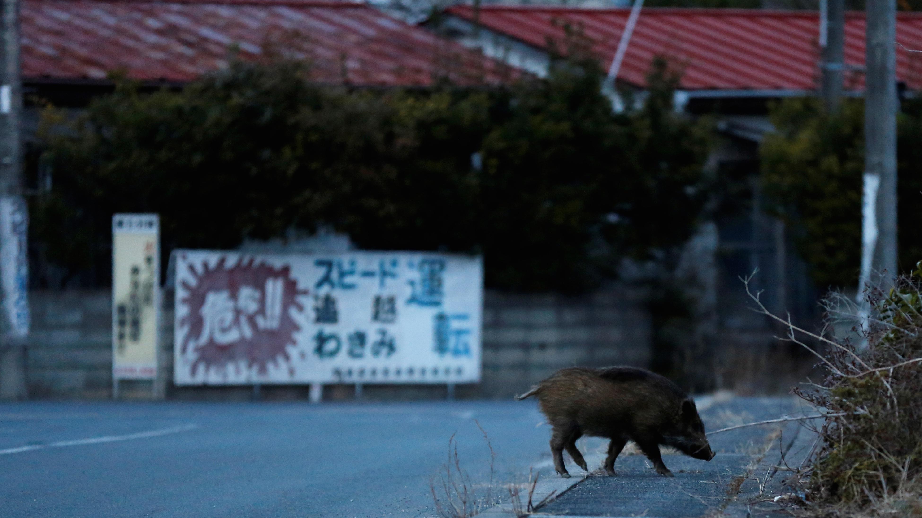 Wild boar in Namie.