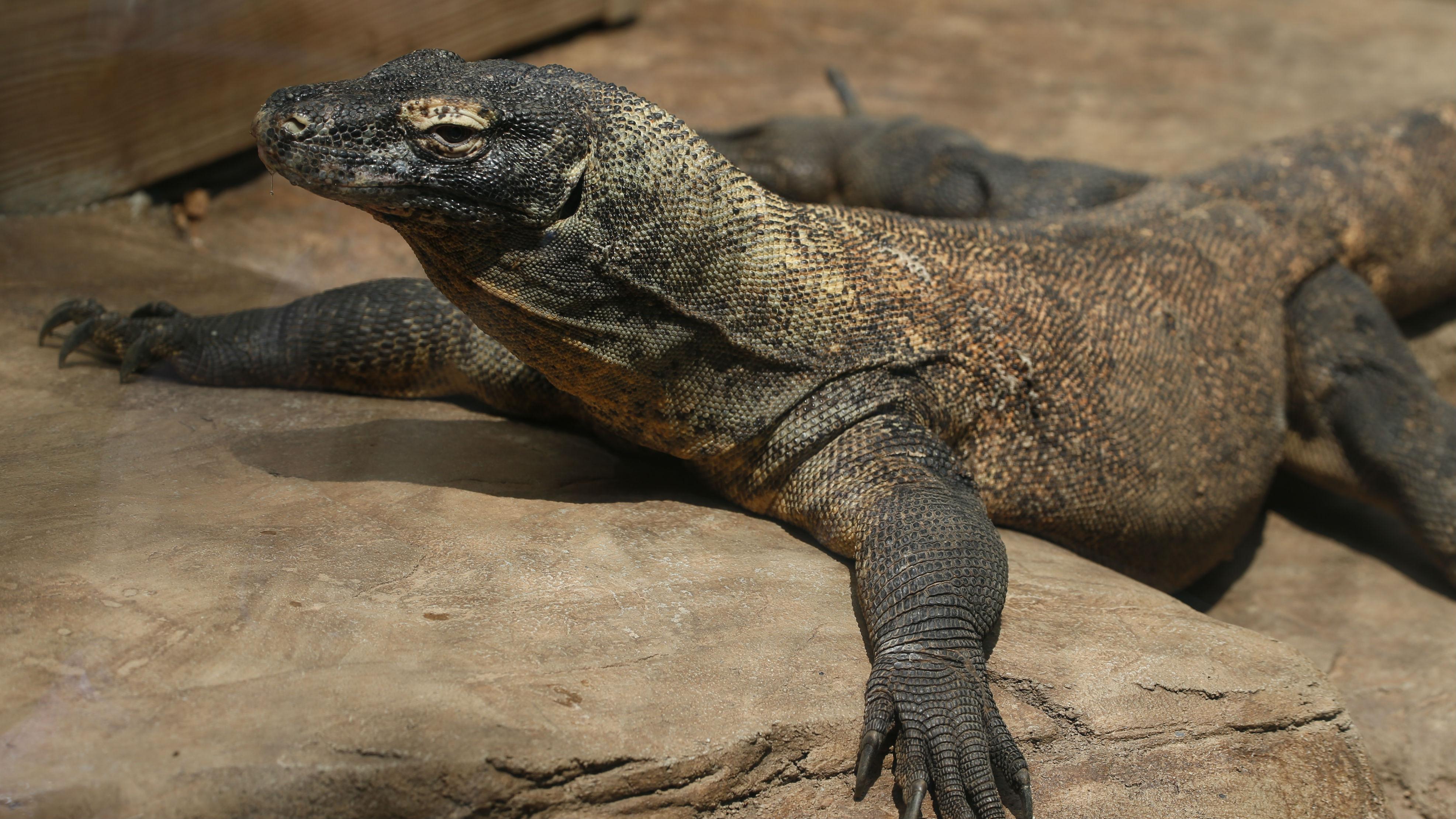 A komodo dragon on a rock.
