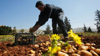 A farmer works with potato crops in the front right of the image with some yellow flowers above them.