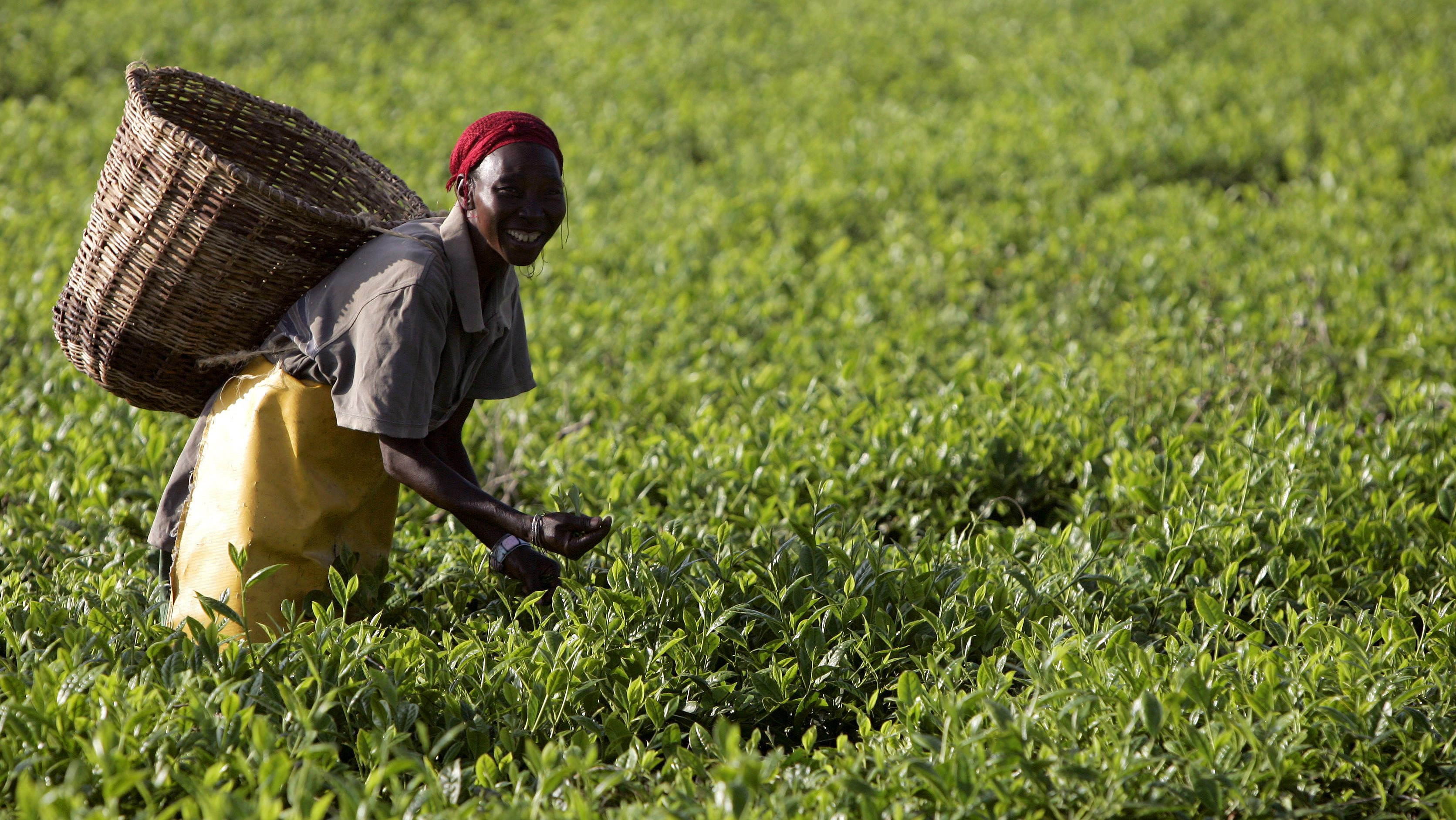 Workers pick tea at a plantation outside Kericho February 6, 2008. Kenyan business leaders on Tuesday urged politicians to move quickly to end a post-election crisis that has killed 1,000 people and threatens progress in east Africa's biggest economy.