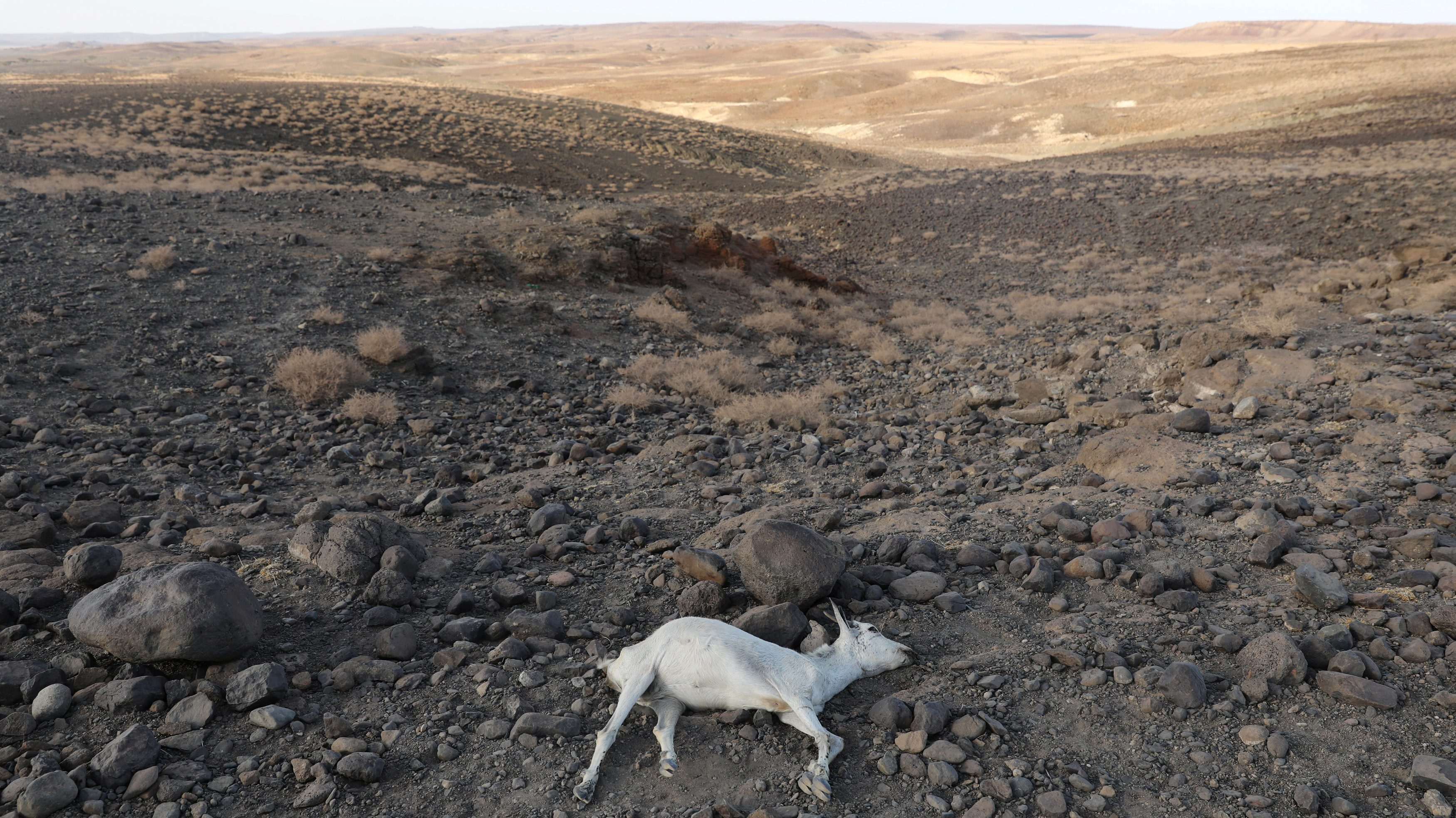 A dead goat is seen near Loiyangalani, Kenya, March 20, 2017.