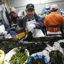 Seaweed farmers prepare seaweed for shipment in their newly built workplace in Minamisanriku town, in Miyagi prefecture, northeastern Japan February 23, 2012. Traditionally farming has been carried out in family units, however after the tsunami the farmers of Minamisanriku created a guild to combine their businesses. They decided to collaborate since there was no way to restart their business individually. Picture taken February 23, 2012. REUTERS/Yuriko Nakao