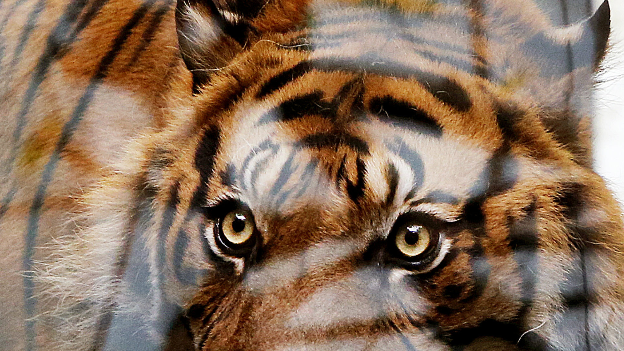 Male Sumatra tiger Vanni is photographed through a reflecting window as it checks out its new enclosere in the zoo in Frankfurt, Germany, on its first public appearance Wednesday, March 1, 2017.