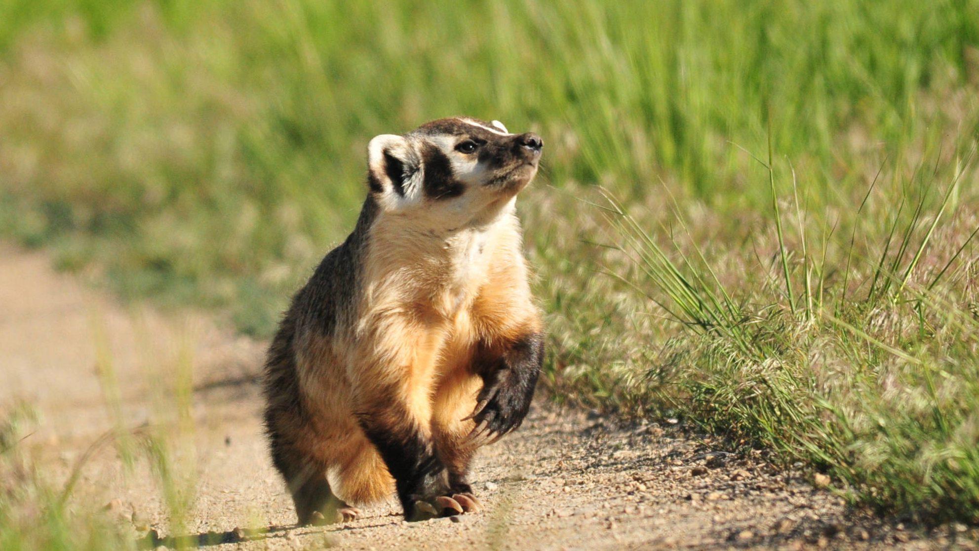 American_badger