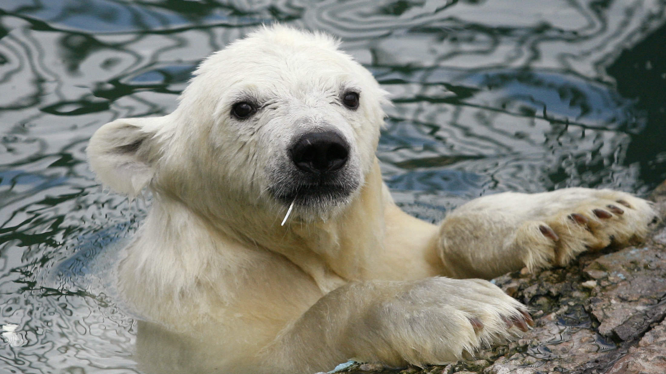 A six-month-old female polar bear cub cools off in its pool at the Royev Ruchey Zoo in Russia?s Siberian city of Krasnoyarsk, July 29, 2010. Two female wild polar bear cubs were found in Russia's Taimyr Peninsula on the coast of the Arctic Ocean in early May and were later housed in Krasnoyarsk zoo. REUTERS/Ilya Naymushin (RUSSIA - Tags: ANIMALS ENVIRONMENT)