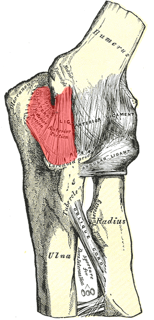Diagram of the human elbow, with the UCL highlighted in red.