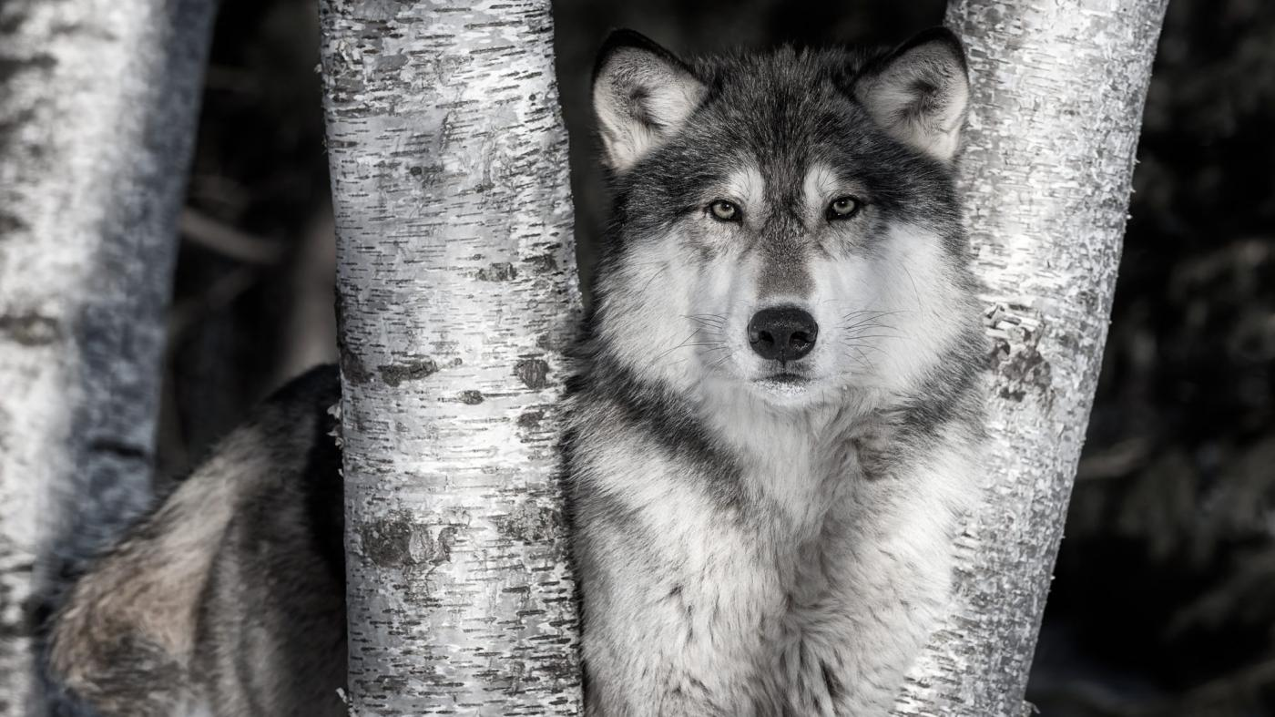 Game farm photography: Love wildlife photos? There s a good chance they weren t shot in the wild