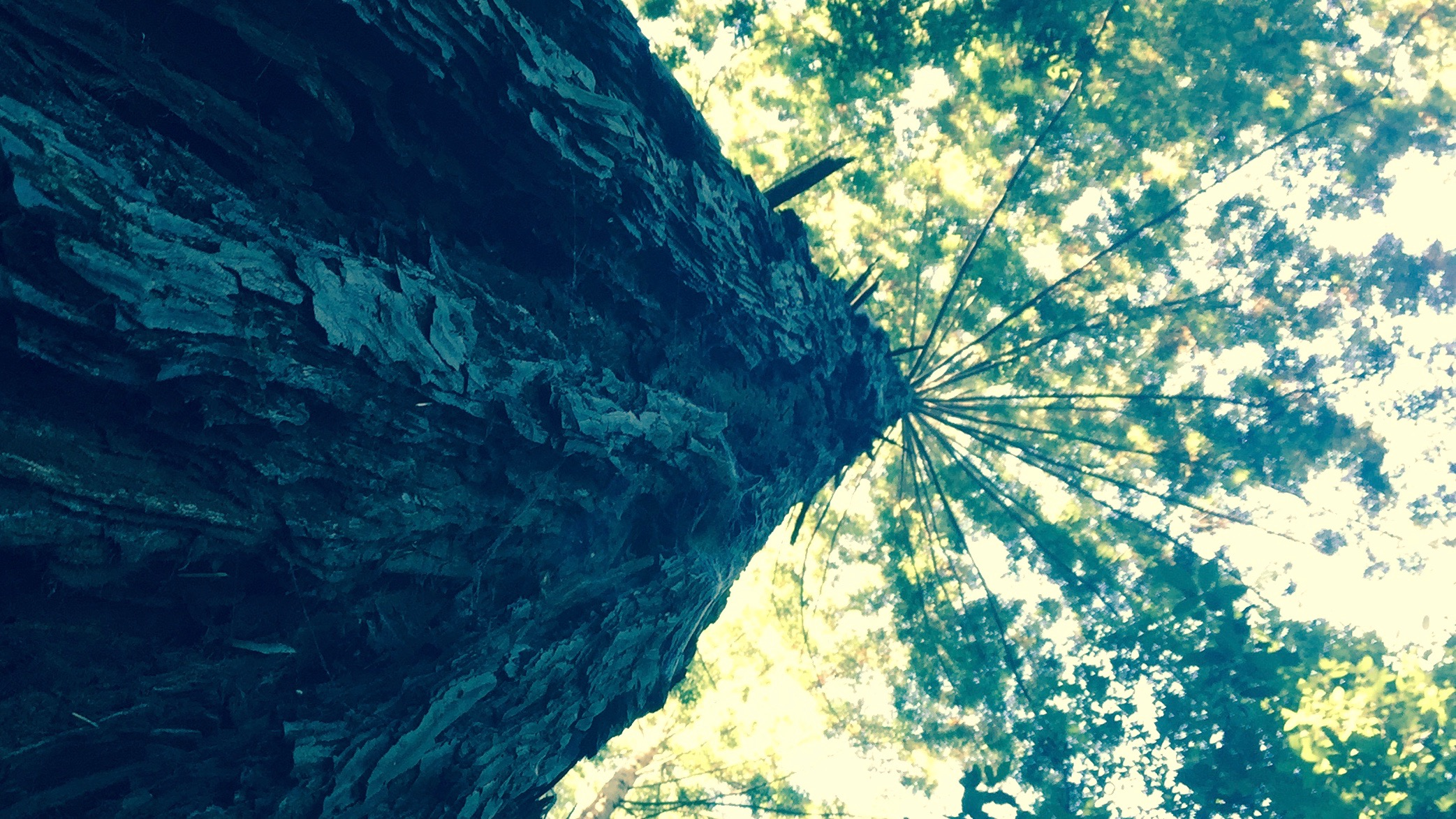 Redwood seen from the trunk up/