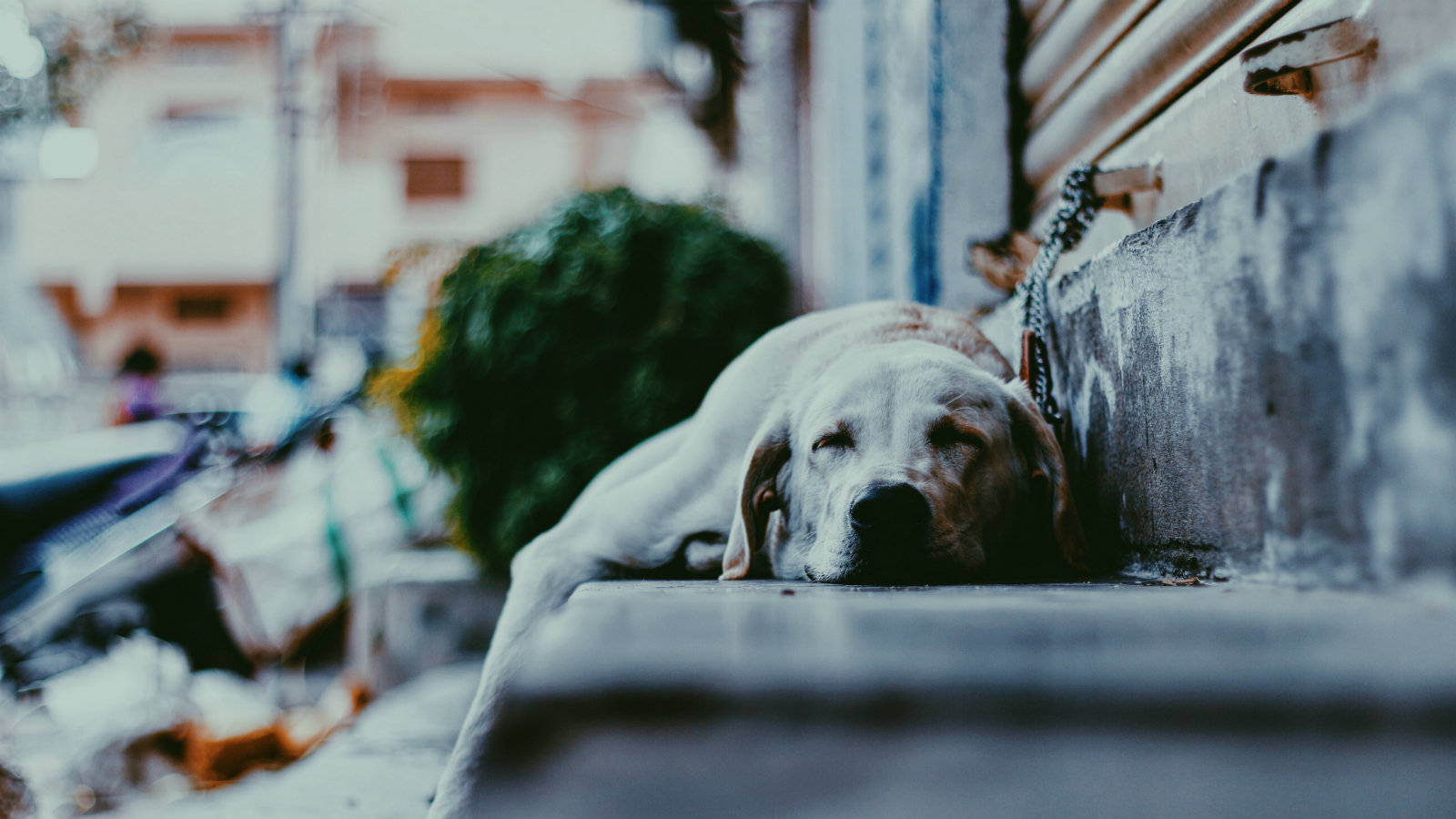 Wealthy dog owners in India are using matrimonial ads to find the