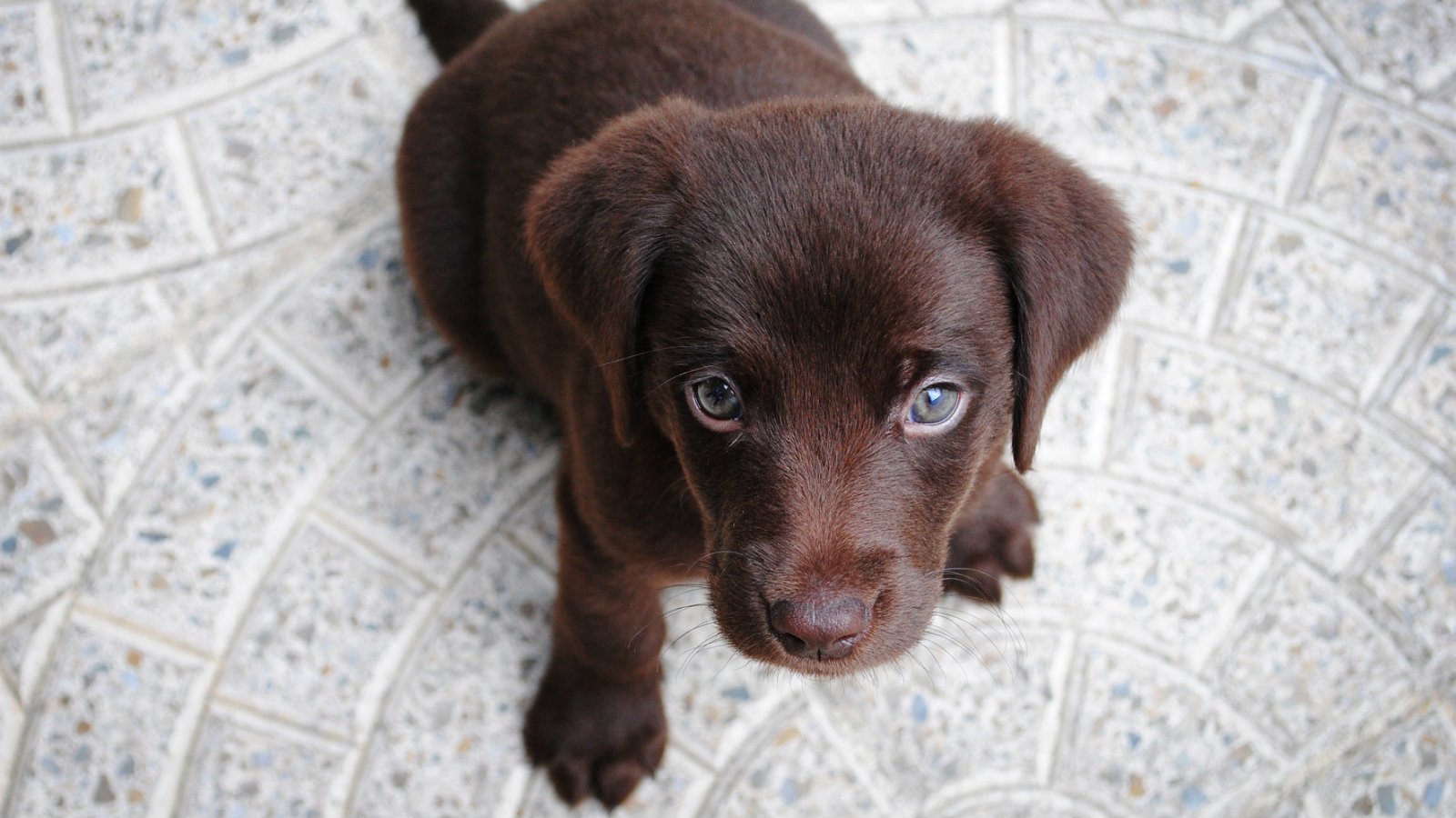 The Indian Dogs That Are Dying Out Because Everyone Wants A Labrador Quartz India