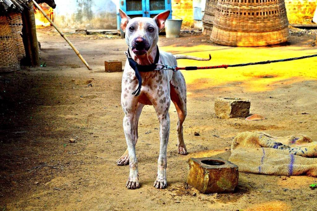 The Indian dogs that are dying out because everyone wants a Labrador