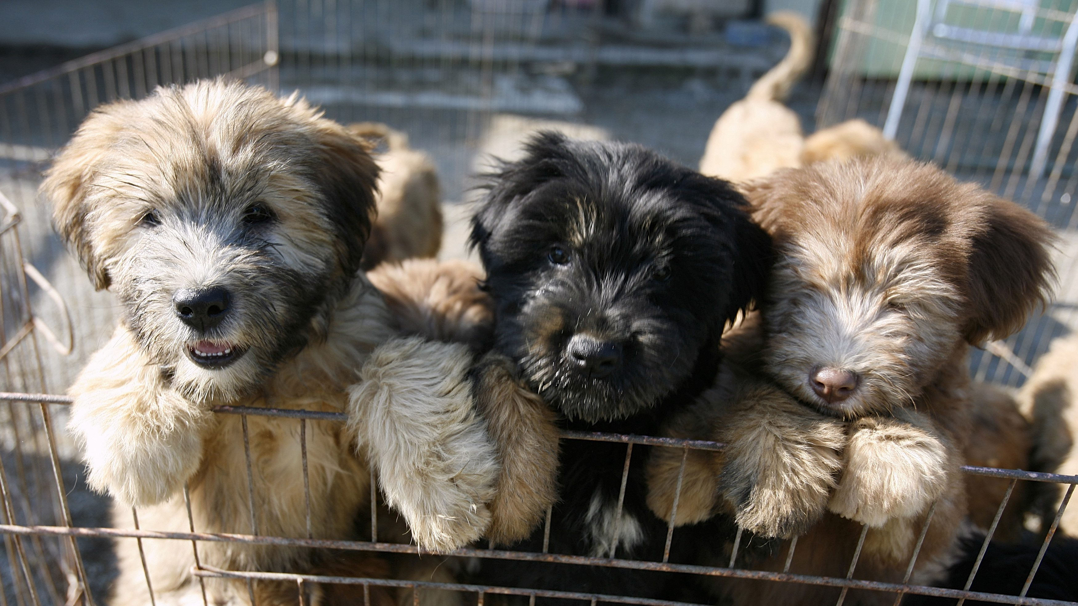 Sapsaree puppies stand in their cage in Gyeongsan, South Korea October 29, 2010. Sapsarees, shaggy-haired dogs long valued for their loyalty, were killed in large numbers by the Japanese military during the period of Japanese colonial rule, but have since made a comeback thanks to Ha Ji-Hong, a U.S.-educated geneticist who combined traditional breeding with advances in modern DNA technology. Picture taken October 29, 2010. To match Reuters Life! KOREA DOG/SAVED REUTERS/Hyungwon Kang (SOUTH KOREA - Tags: SOCIETY ANIMALS IMAGES OF THE DAY) - RTXUQ6B