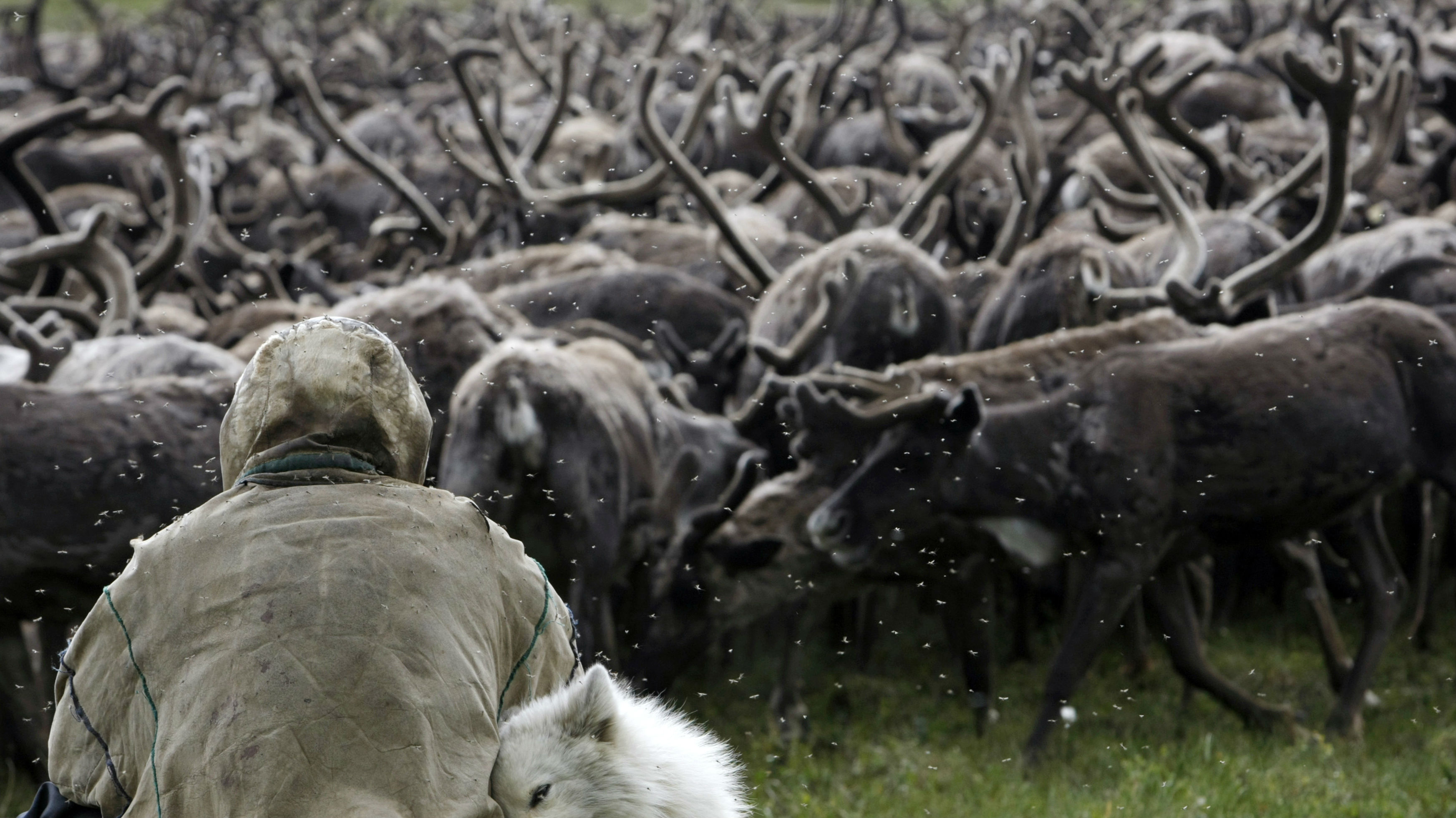 DATE IMPORTED:October 07, 2009A Nenets tribesman sits in front of a herd of reindeers on the Yamal peninsula, north of the polar circle, August 4, 2009. The Nenets tribespeople of Russia's frozen Yamal peninsula have survived the age of the Tsars, the Bolshevik revolution and the chaotic 1990s, but now confront their biggest challenge -- under their fur-bundled feet is enough gas to heat the world for five years. Picture taken August 4, 2009.