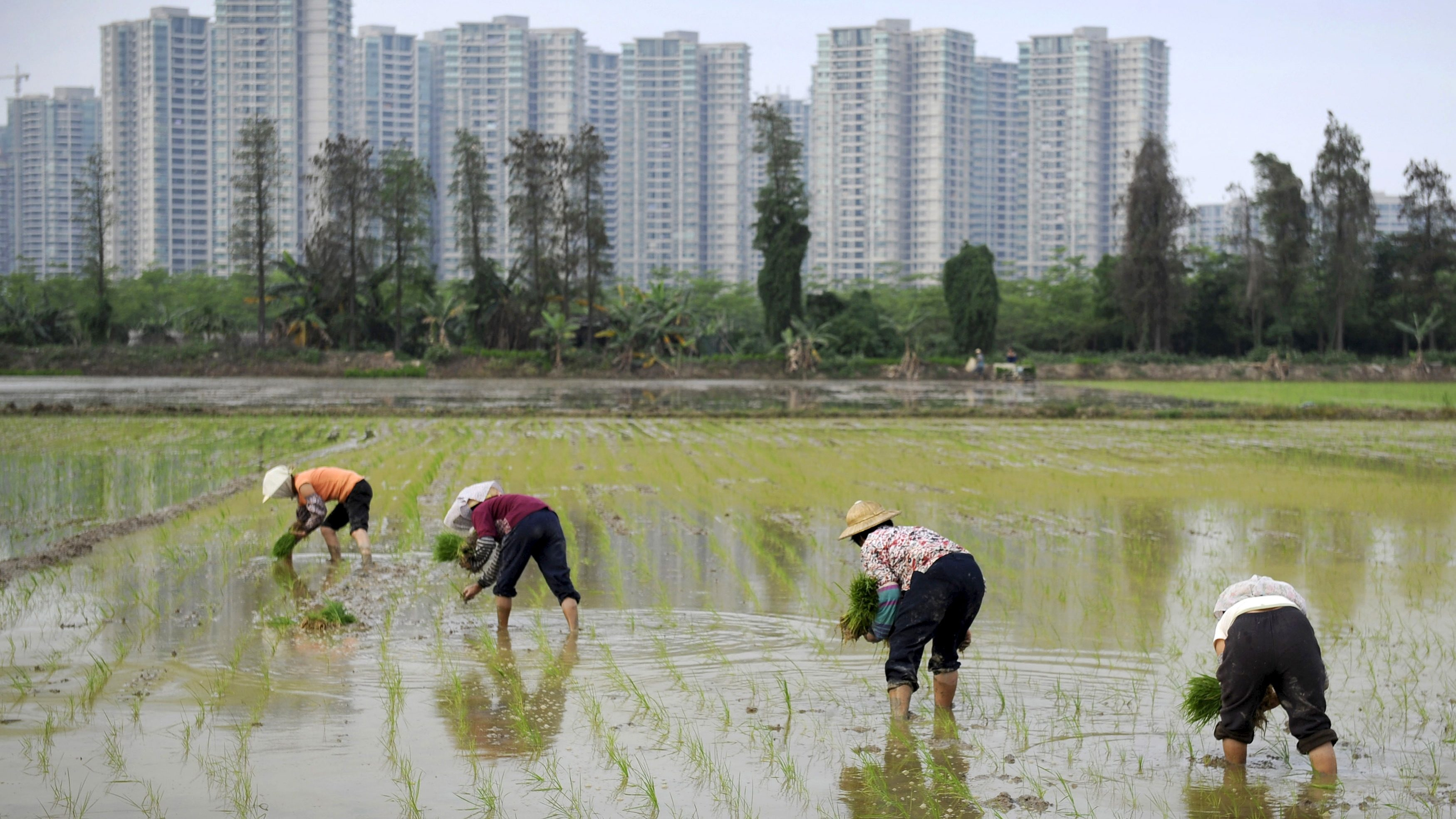 Farmers plant rice seedlings in a field near a residential compound in Shaxi township, Guangdong province March 29, 2015. China on Monday courted home buyers with a bigger tax break as it cut downpayment requirements for the second time in six months, stepping up a fight against sliding house prices that is imperiling the world's second-biggest economy. Picture taken March 29, 2015.