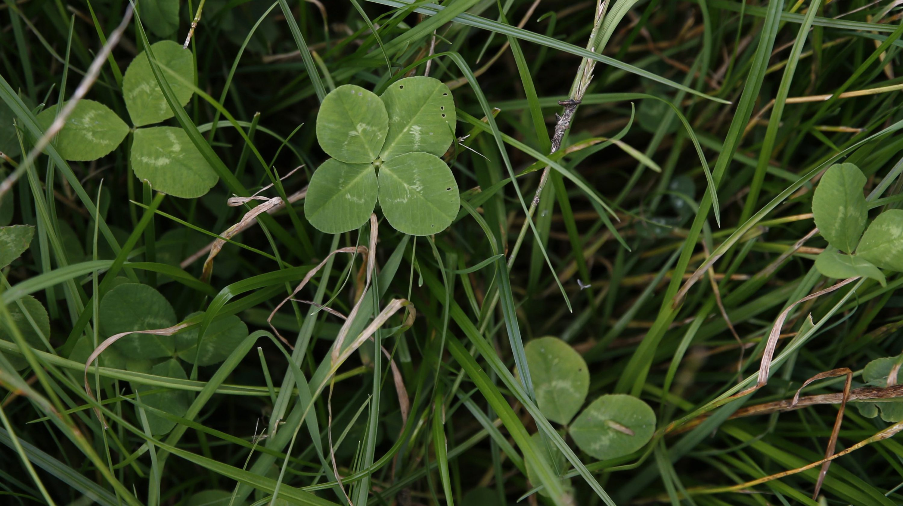 A four leafed clover is seen in Perthshire Scotland, August 11, 2015.