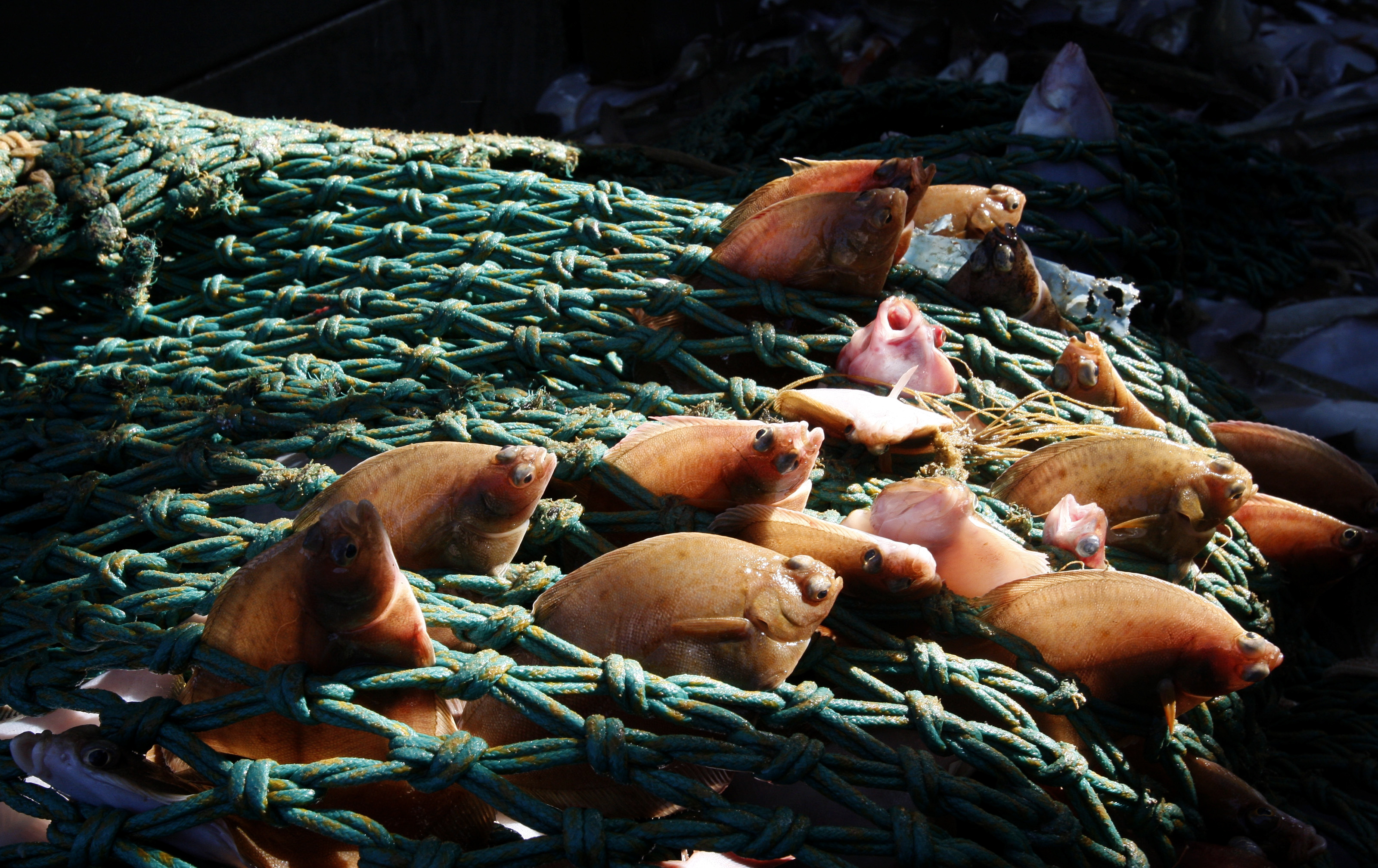"""View of little soles caught by the Boulogne sur Mer trawler """"Nicolas Jeremy"""" in the North Sea late September 29, 2008. European Union ministers opened a debate on Monday on how to overhaul Europe's fisheries policy from 2012, aiming to end persistent quota-busting and cut the trawling capacity of the EU fleet."""