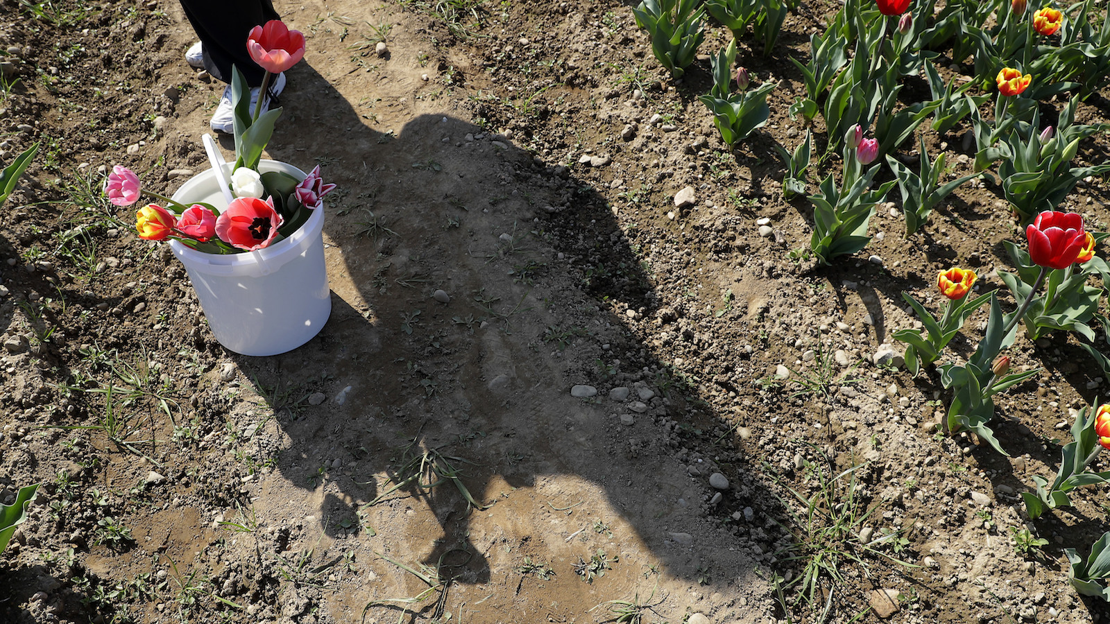 Tulips sit in a bucket at the first Italian tulip field, planted by a Dutch couple to recreate the tradition in the Netherlands where you can pick your own tulip, in Cornaredo, near Milan, Italy, Wednesday, March 29, 2017. Dutch couple Edwin Koeman, and Nitsuje Wolanios planted 250000 tulips of 183 different varieties in a field outside Milan which opened on March 28 and will remain open for three or four weeks, depending on the blooming time of the tulips. (AP Photo/Antonio Calanni)