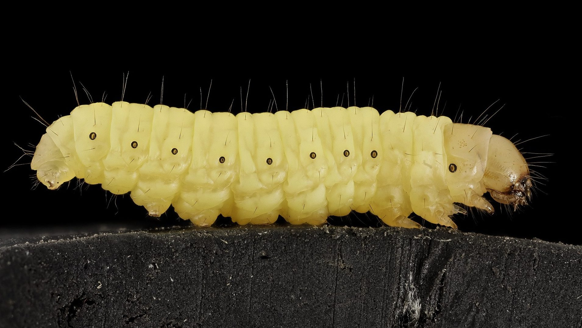 Image of a wax worm