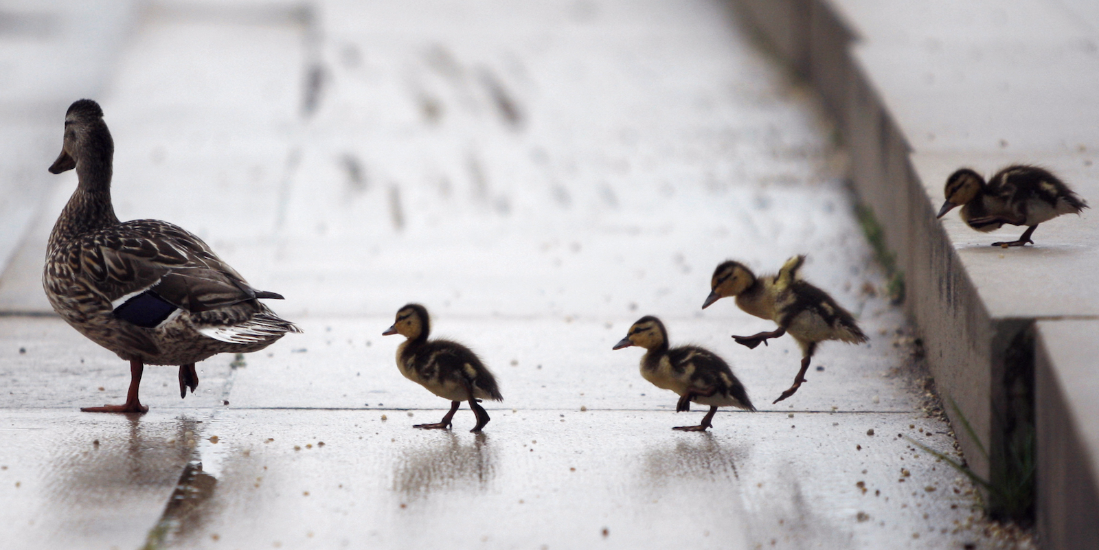 A duck leads her ducklings down a set of steps near the Capitol Building on the National Mall