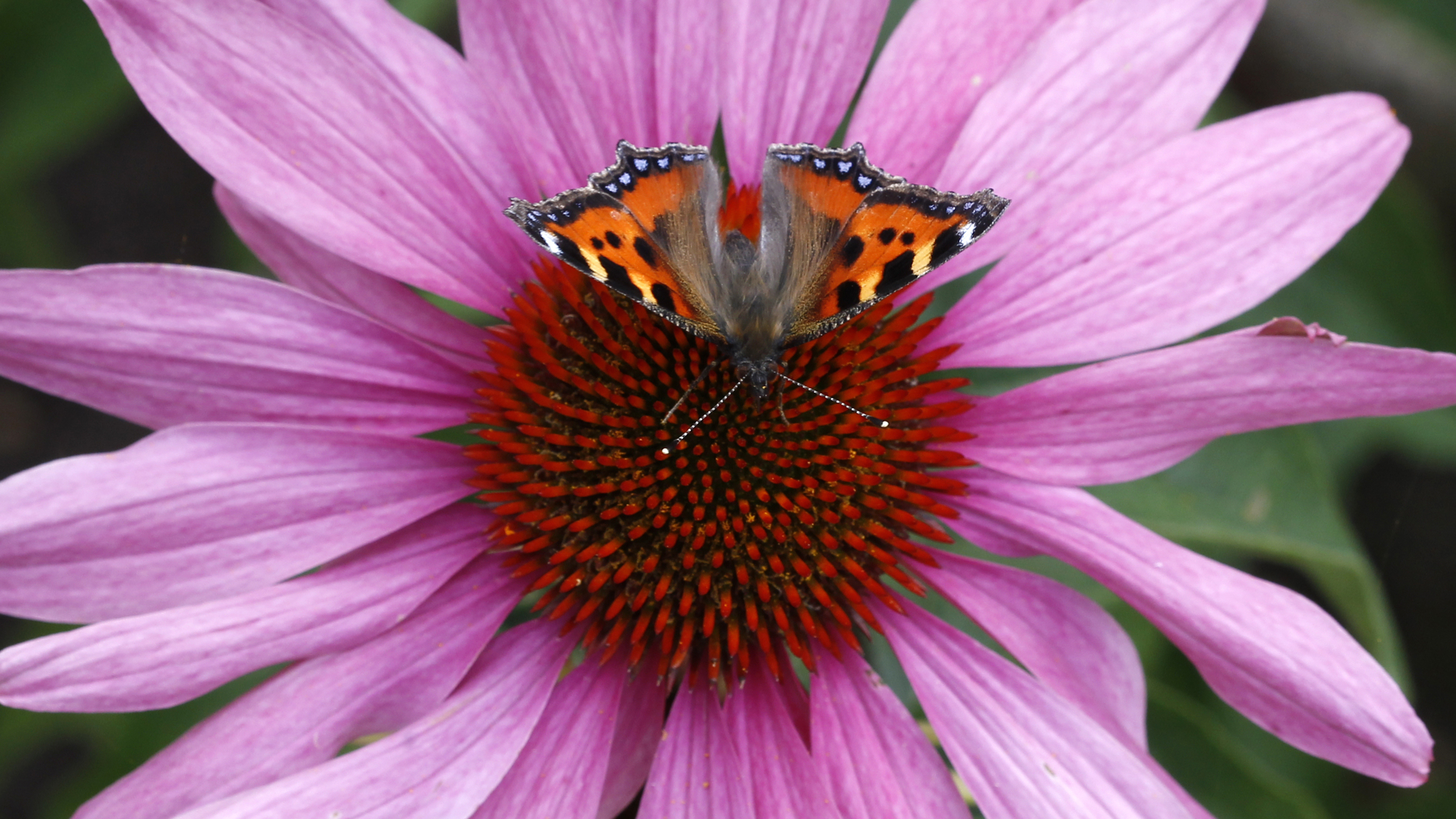 A butterfly called 'Kleiner Fuchs' little fox is pictured at a flower near Ingolstadt, southern Germany July 26, 2012.