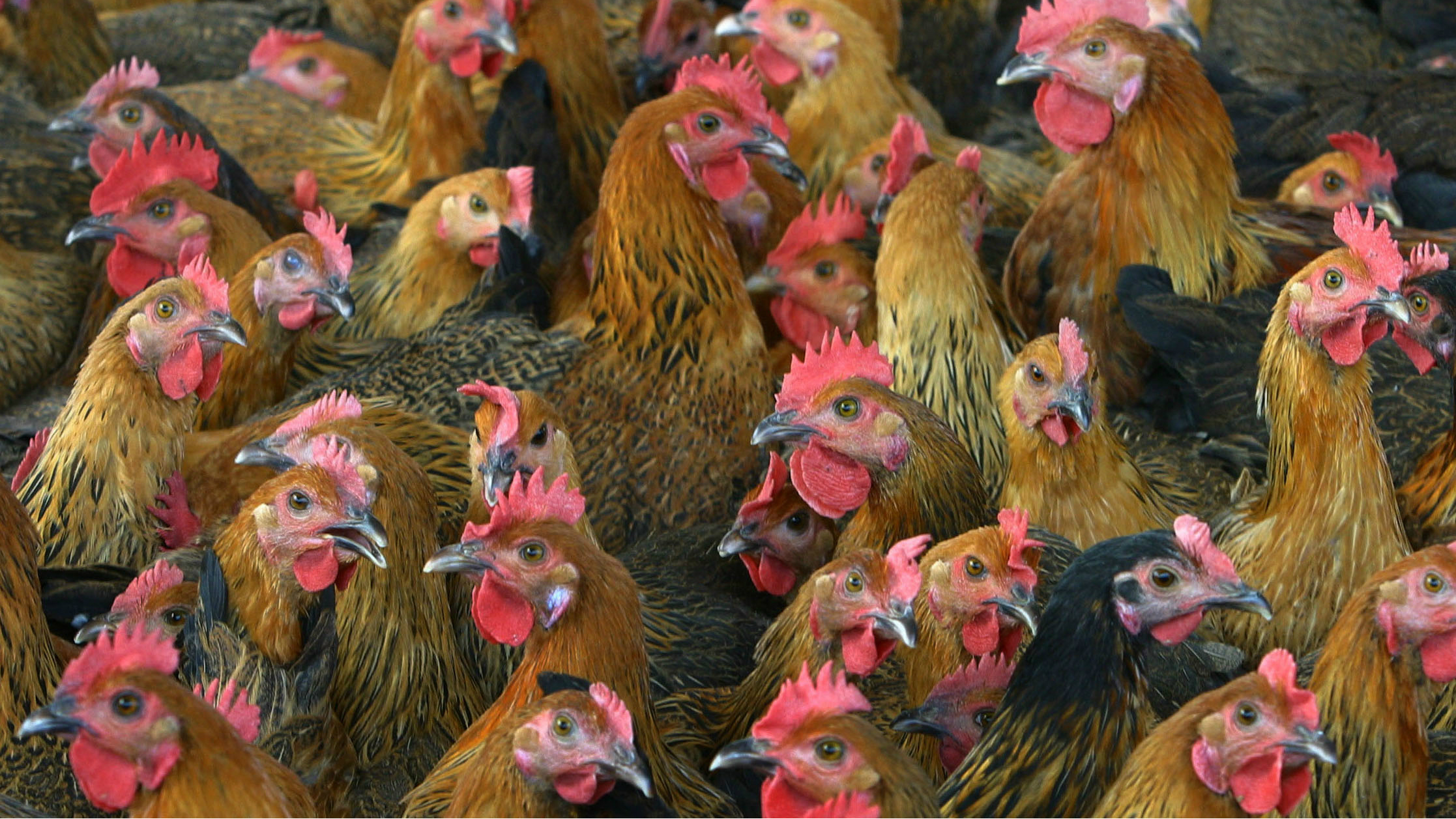A bunch of chickens.