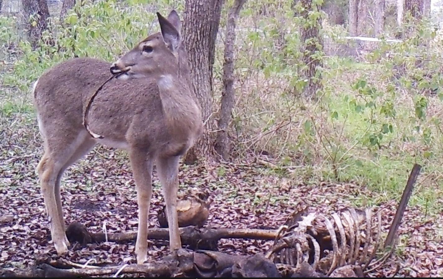 Deer eat human remains 2