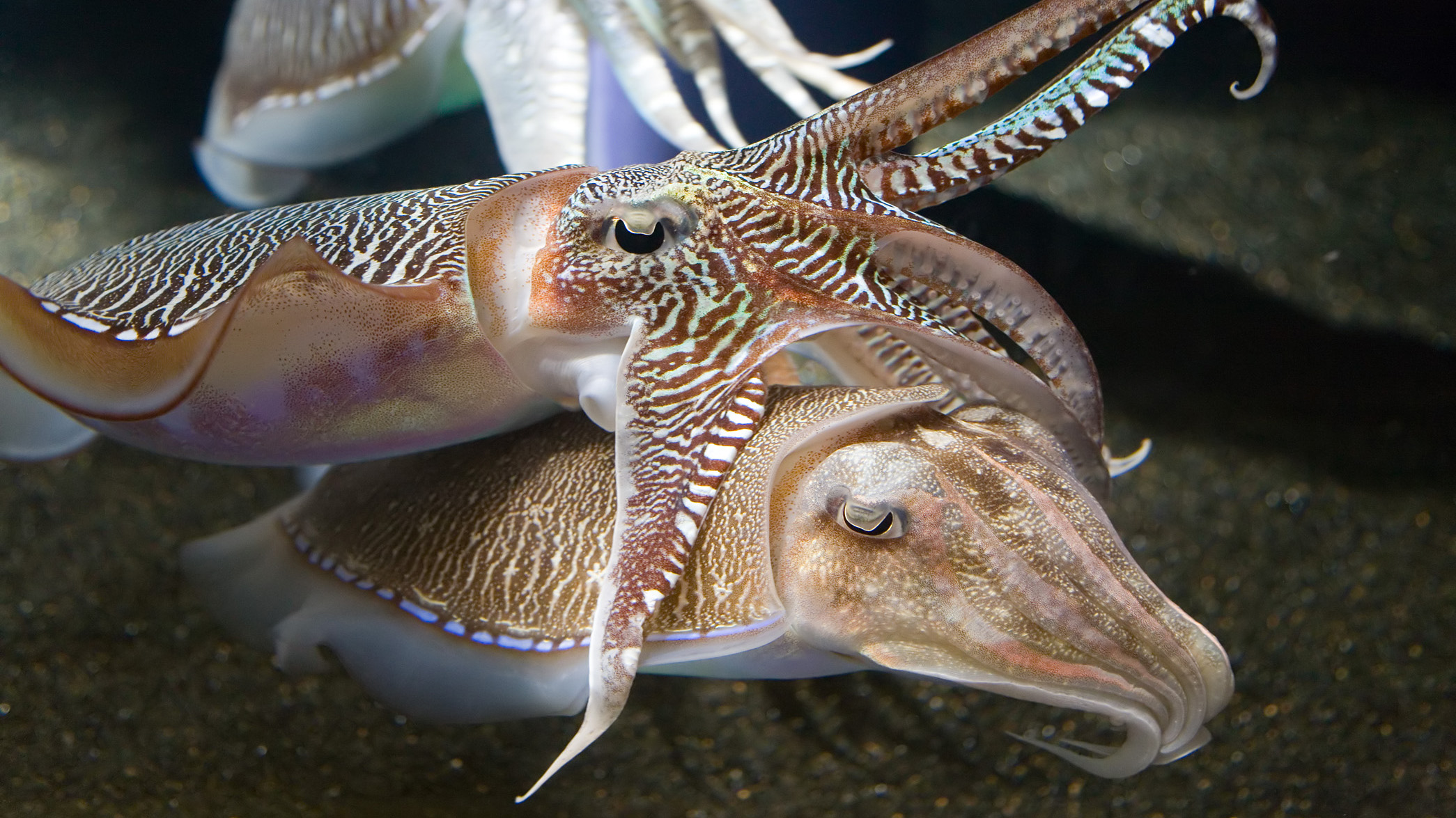 Georgia_Aquarium_-_Cuttlefish_Jan_2006