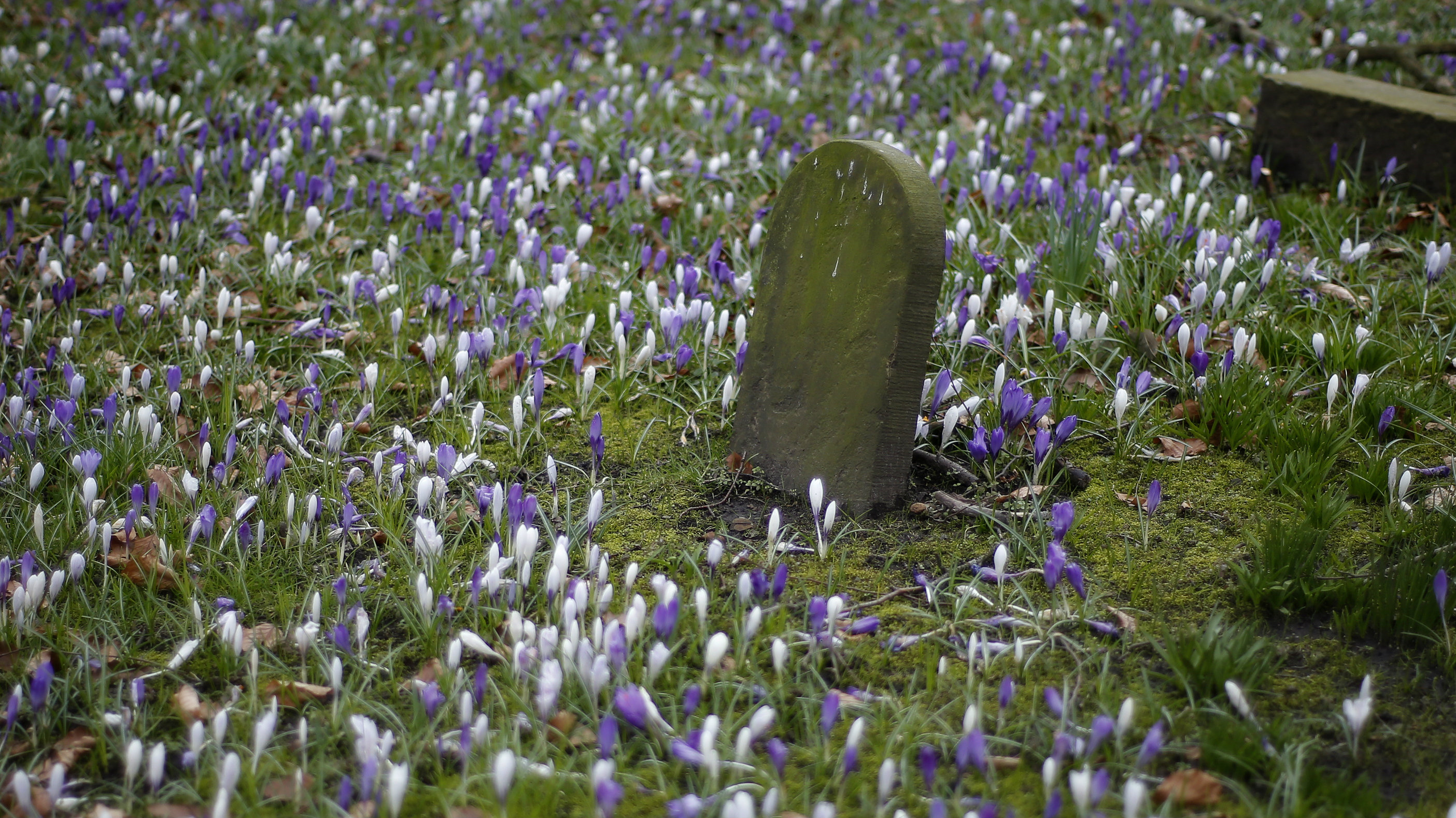 Spring flowers bloom between the gravestones in a church yard in Knutsford, northern England March 19, 2013. REUTERS/Phil Noble (BRITAIN - Tags: ENVIRONMENT SOCIETY RELIGION)