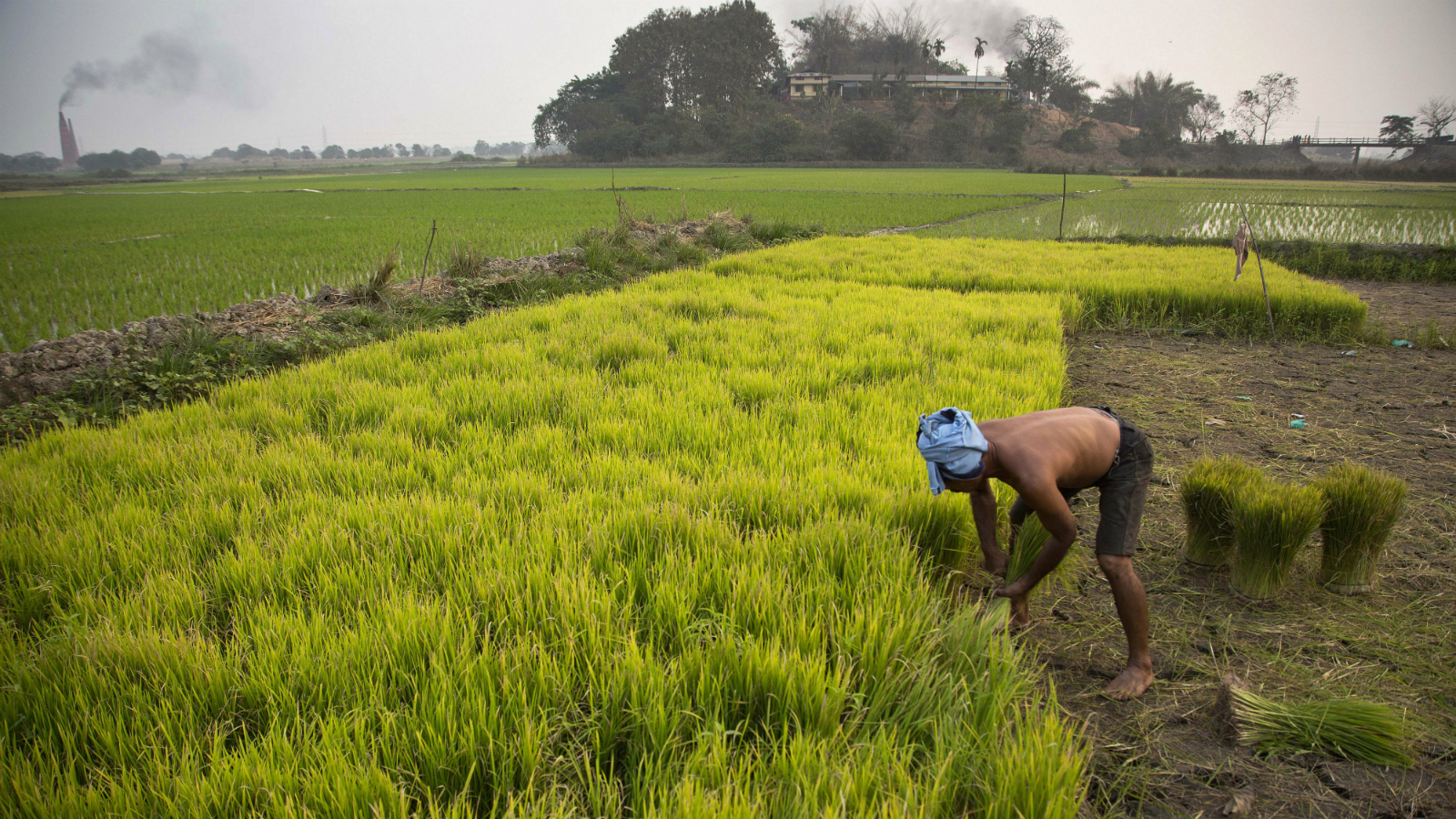 An Indian farmer works in his paddy field in Roja Mayong village, east of Gauhati, India, Wednesday, Feb. 1, 2017. India's finance minister pledged relief for middle class taxpayers and small and medium-sized companies on Wednesday, saying the government would spend billions of dollars to double farmers' incomes, upgrade ramshackle infrastructure and provide cheap housing. (AP Photo/ Anupam Nath)