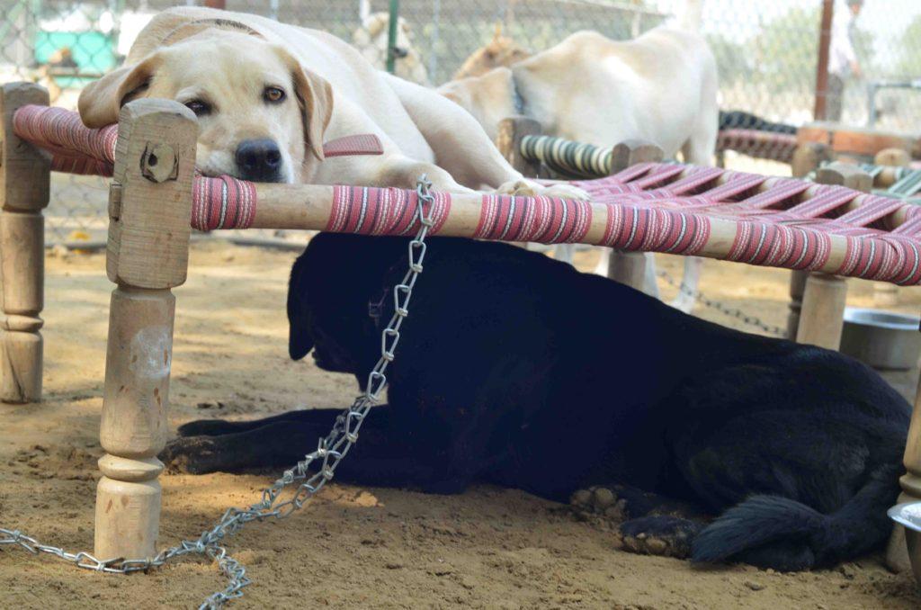 India-pets