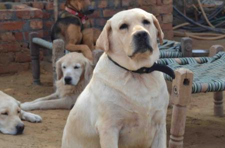 India-dogs