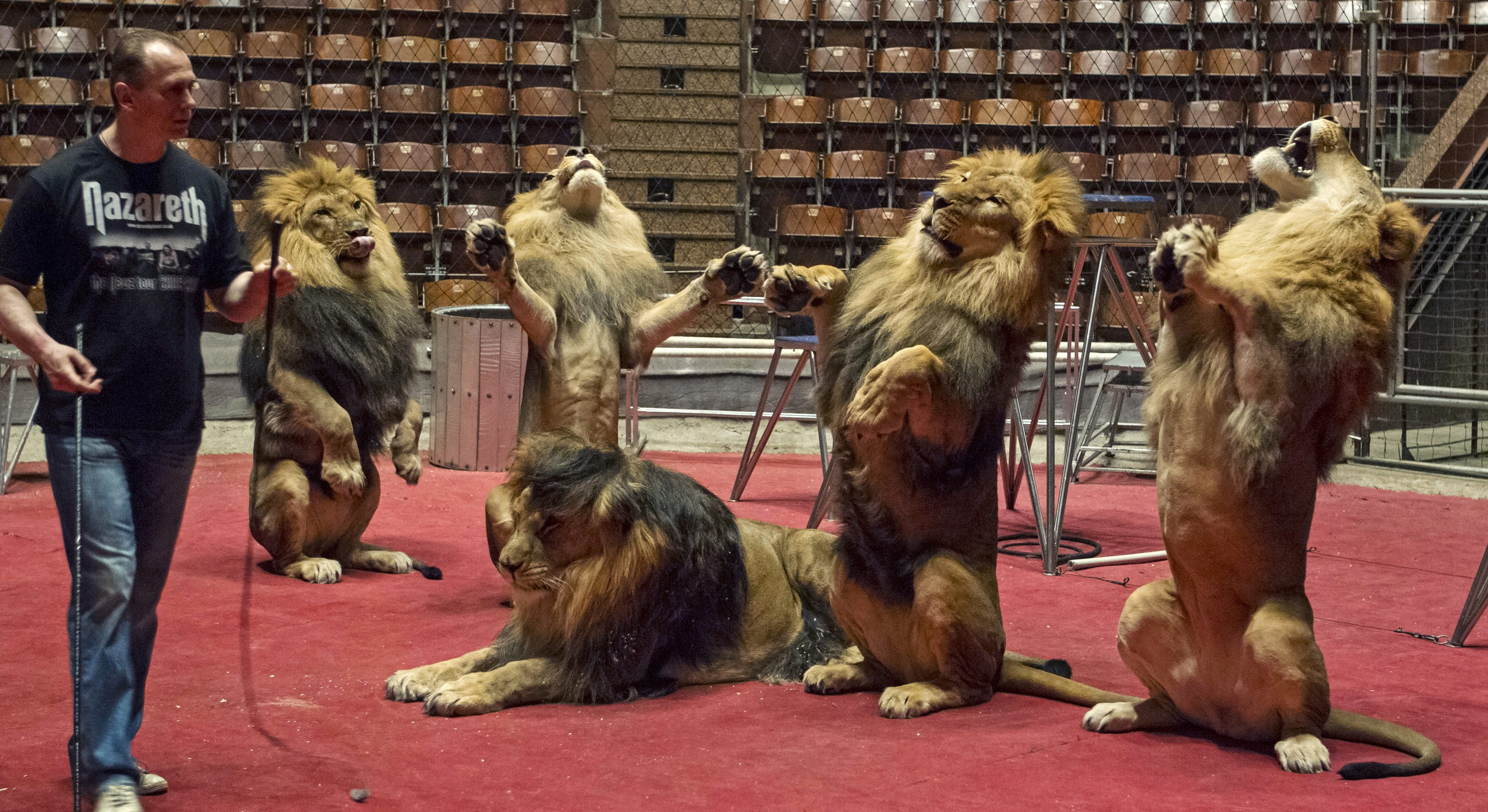 Lion tamer Oleksiy Pinko rehearses tricks with lions before their performance in a Kiev circus May 31, 2013. Pinko has trained seven lions for his performance in the circus where he dances with the lions and puts his head into a lion's open mouth. Picture taken May 31, 2013.