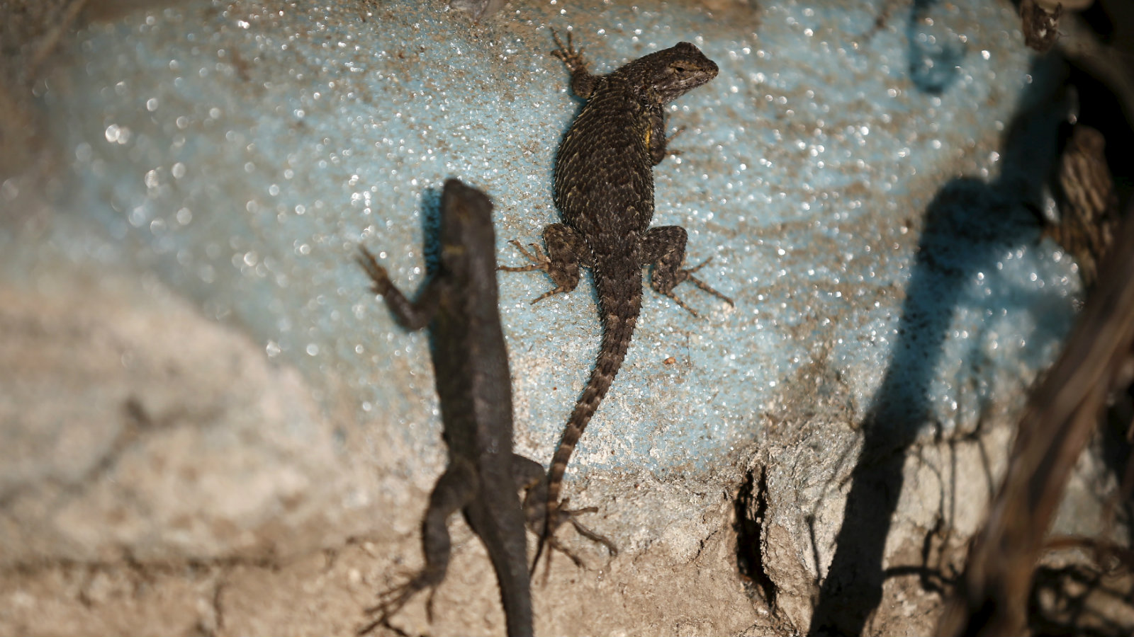 Lizards sun themselves on a dried out dock at Lake Cachuma in Santa Barbara, California March 27, 2015. California Governor Jerry Brown signed emergency legislation on Friday that fast-tracks over $1 billion in funding for drought relief and water infrastructure within the parched state. California is in its fourth year of a record-breaking drought.